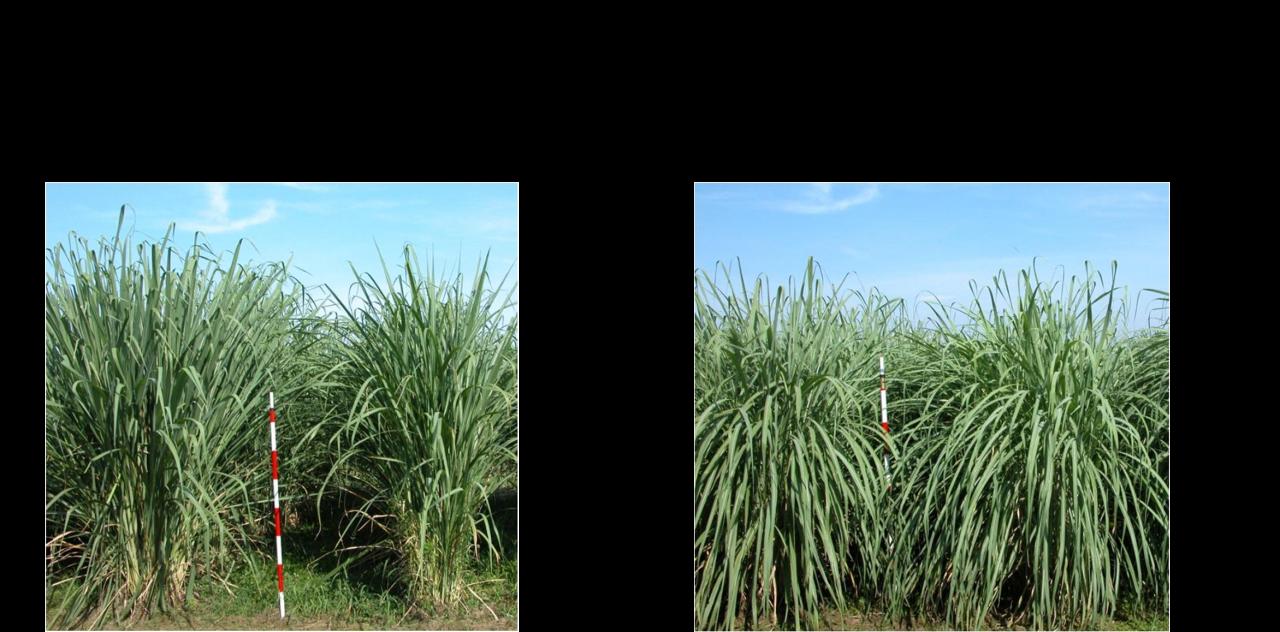 Plant type of Erianthus varieties JES1 and JEC1.