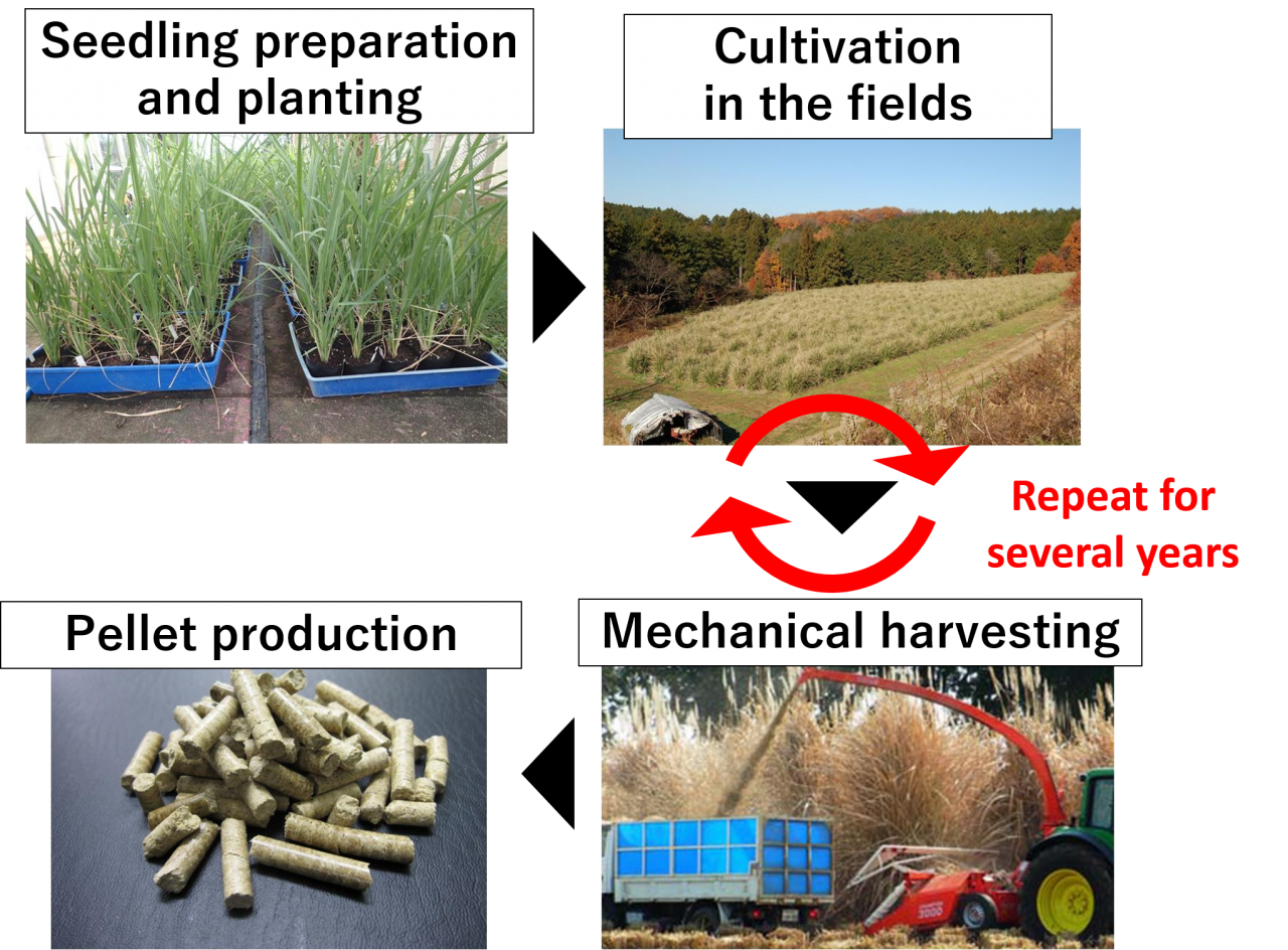 Cultivation and utilization of JES1 and JEC1 varieties.