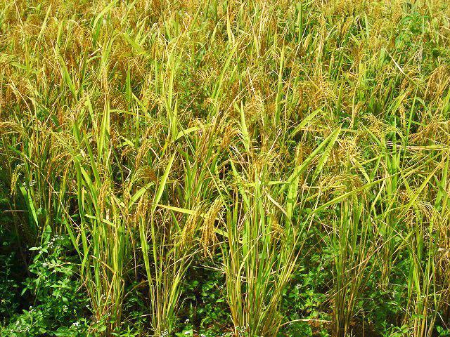 イネの生育・収穫の妨げになる雑草を退治するには、相手を知る必要があります(ノーザン州、ガーナ)