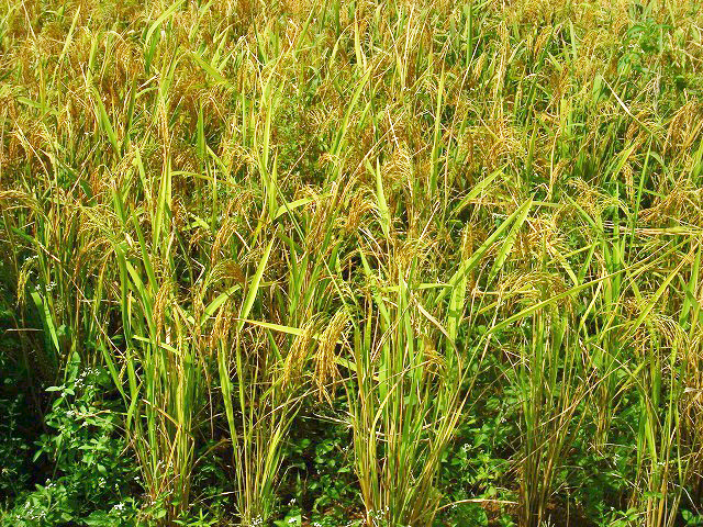 Weeds interfere with both rice growth and harvesting operations, hence understanding weed ecology is important in controlling them.