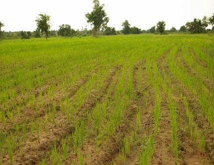肥料不足のイネ(ノーザン州、ガーナ)