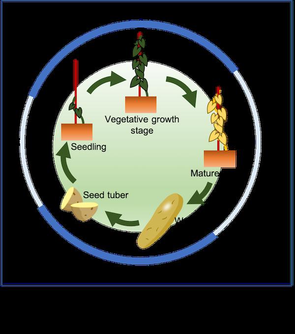 Lifecycle of yam