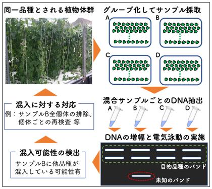 図4 他品種混入検出手法の利用例