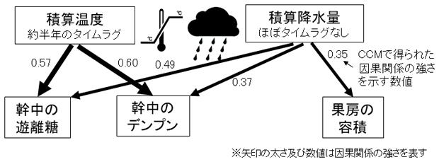 図2 経験的動態モデリングによって有意と示された積算温度及び積算雨量からの幹中の遊離糖及びデンプン量と果房容積への因果関係
