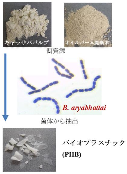 図2 農作物残渣内の未利用澱粉からのPHB生産