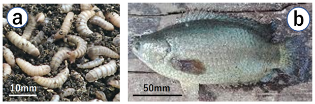 """Fig. 1. Black soldier fly larvae (a) and the climbing perch (b)"""""