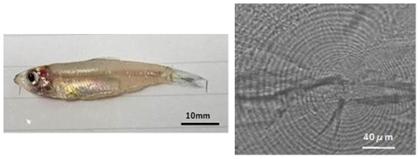 図1 パケオ成魚(体長約40mm)(左)、および耳石の日周輪(右)
