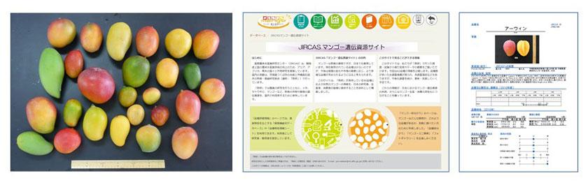 図2 国際農研が保有するマンゴー遺伝資源(左)、「JIRCASマンゴー遺伝資源サイト」トップページ(中央)および品種特性情報ページ(右)
