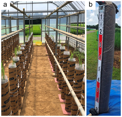 Fig. 1. Sorghum pipe (12 cm x 1 m) cultivation test in greenhouse at 31 days after seeding (a), and soil column removed from pipe at the first soil and plant root sampling (b)