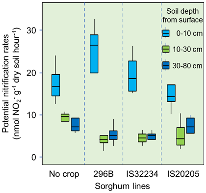 Fig. 3. Nitrification activity in bulk (no crop) and sorghum rhizosphere soils along the soil profile at 70 days after seeding, under nitrogen fertilizer application (120 kg ha-1)