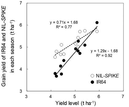 Fig. 1. Comparison of grain yield betweenIR64 and NIL-SPIKE across 11 seasons.