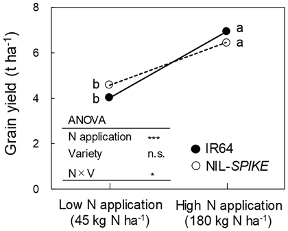 Fig. 2. Comparison of grain yield between IR64 and NIL-SPIKE under low- and high-N  applications. *** and * show significance at 0.1% and 5% levels, respectively, while n.s. indicates not significant. Different letters show significant difference at 5% le