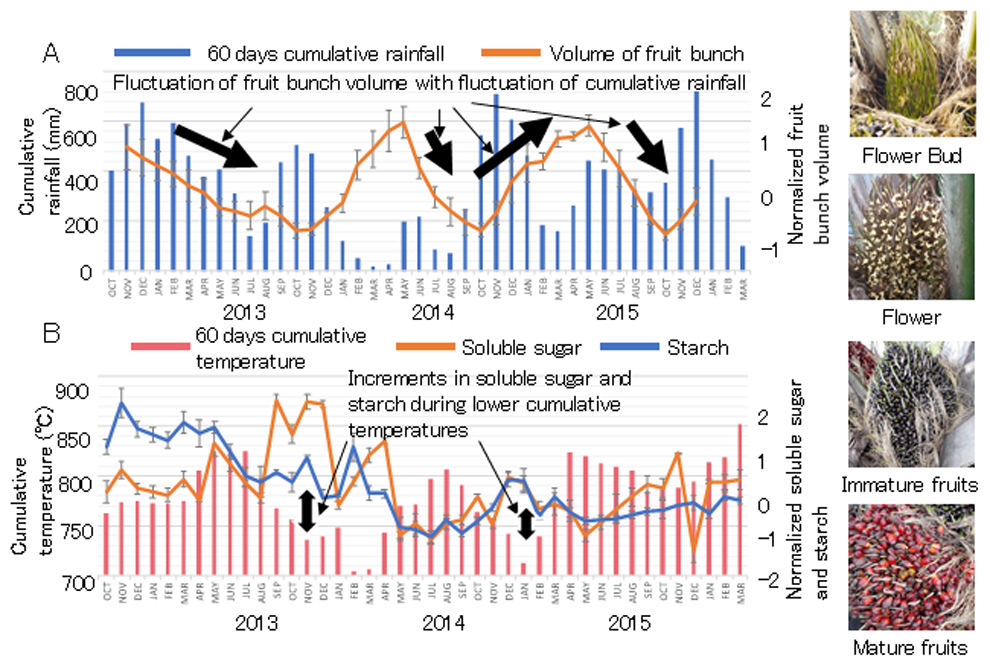 Fig 1. The volume of fruit bunch summed from all development stages, shown by photos on the right side, and 60 days cumulative rainfall (A), the amounts of soluble sugar and starch in oil palm stem and 60 days cumulative temperature during the observation