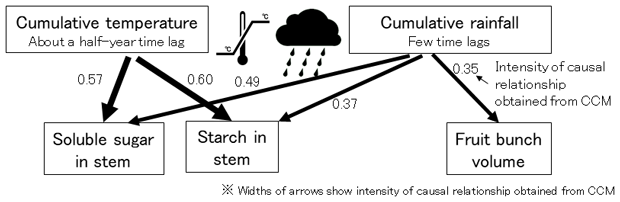 Fig. 2. Significant causal relationship from cumulative temperature and rainfall to soluble sugar, starch in oil palm stem, and volume of fruit bunch evaluated by empirical dynamic modelling.