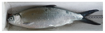 Fig. 1. Harvested milkfish (Chanos chanos) 29.8 cm fork length