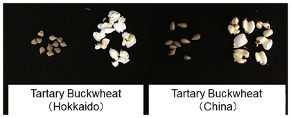 Fig. 1. Popped Tartary buckwheat using circulated fluidized-bed heating treatmentThe treatment provides edible popped Tartary buckwheat in a short time.