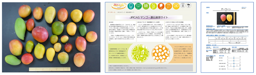 "Fig. 2. Mango genetic resources conserved at JIRCAS (left), a screenshot of the top page of the ""JIRCAS Mango Genetic Resources Site"" (center), and a linked page on the website, showing important information on mango variety characteristics (right)."