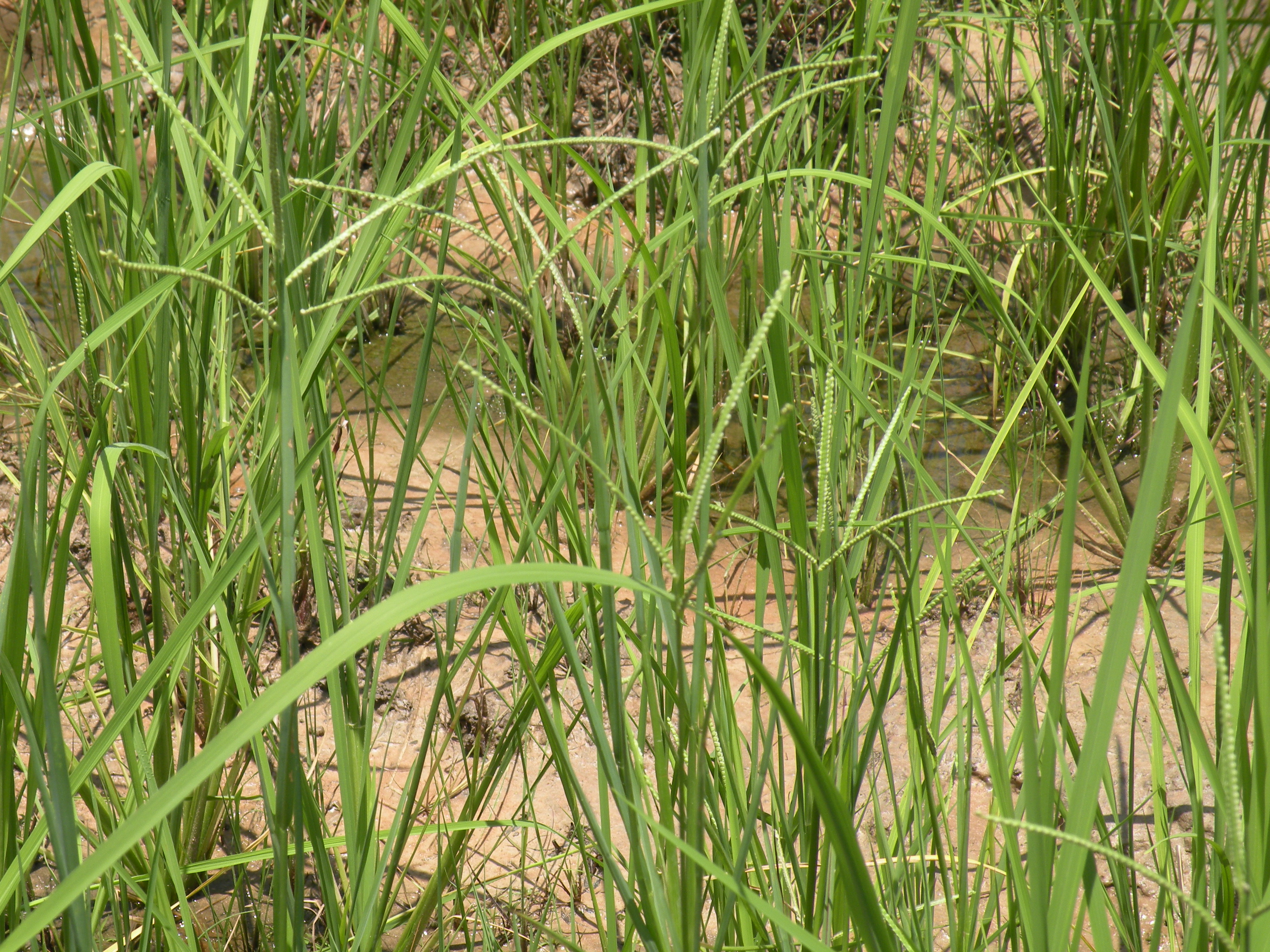 Plants with panicles growing in rice field