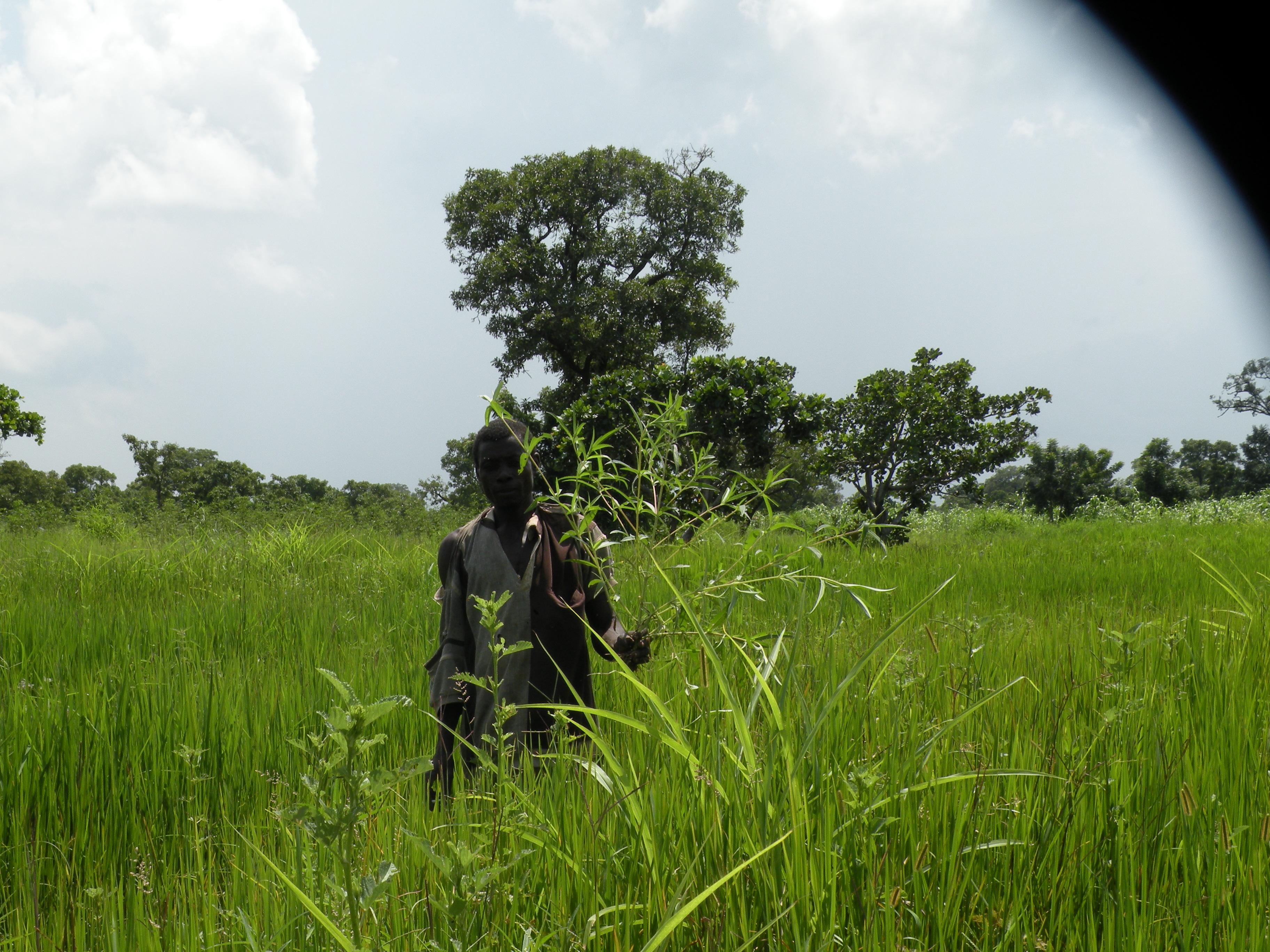 イネ圃場で、問題雑草として本種を示す耕作者