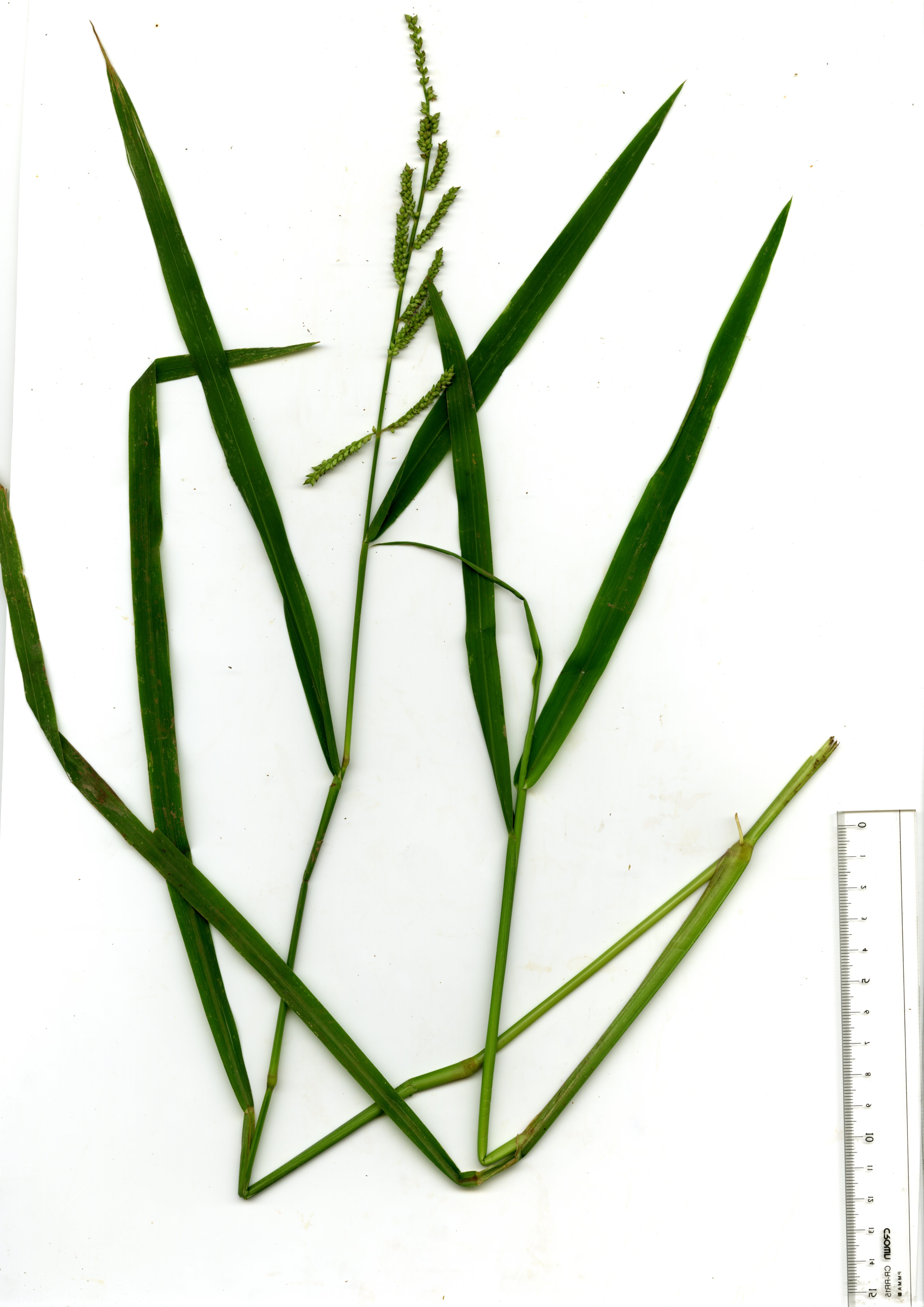 Whole plant with panicle