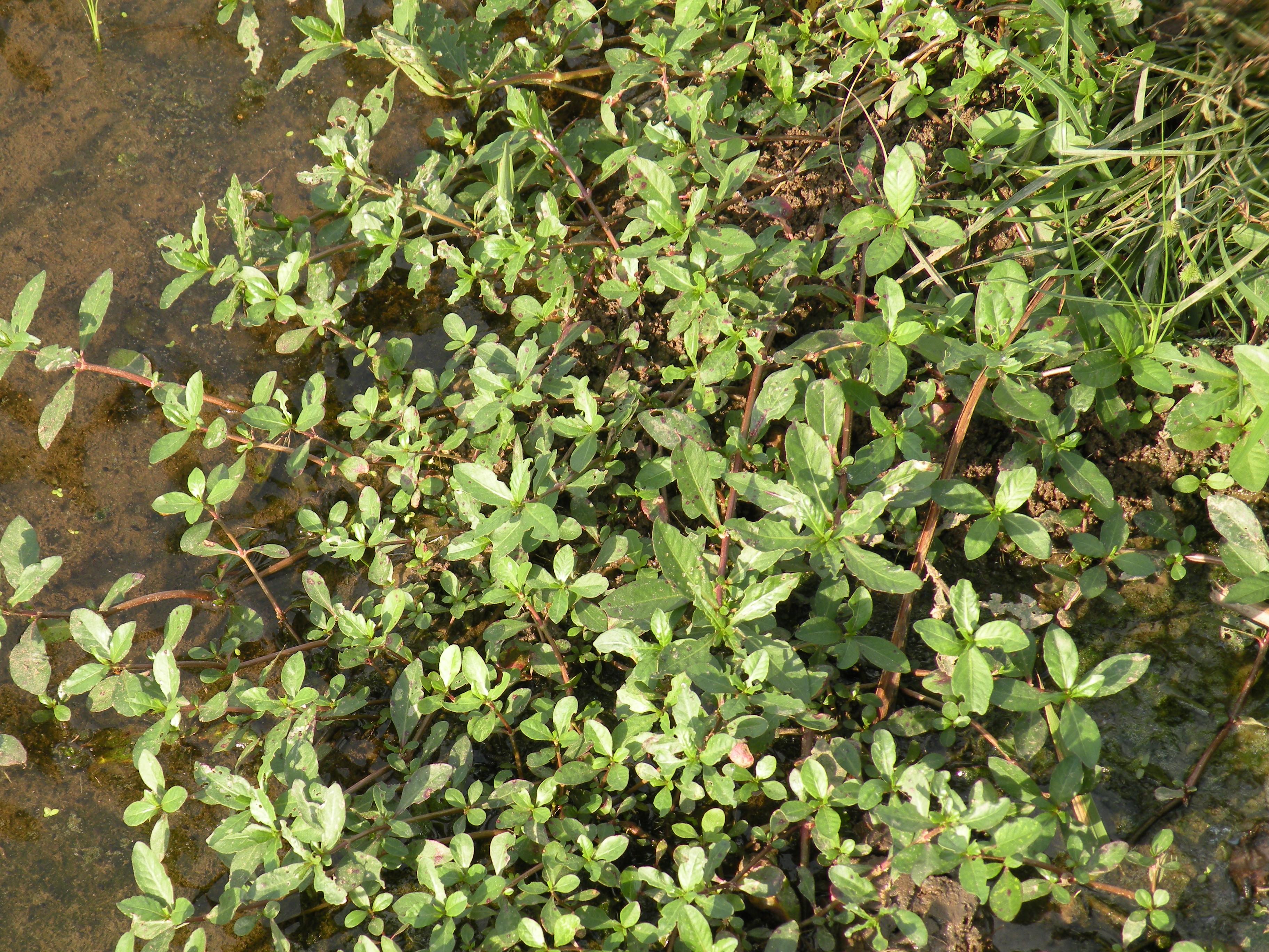 クマシ市の水田の側溝に生育する花期の成植物