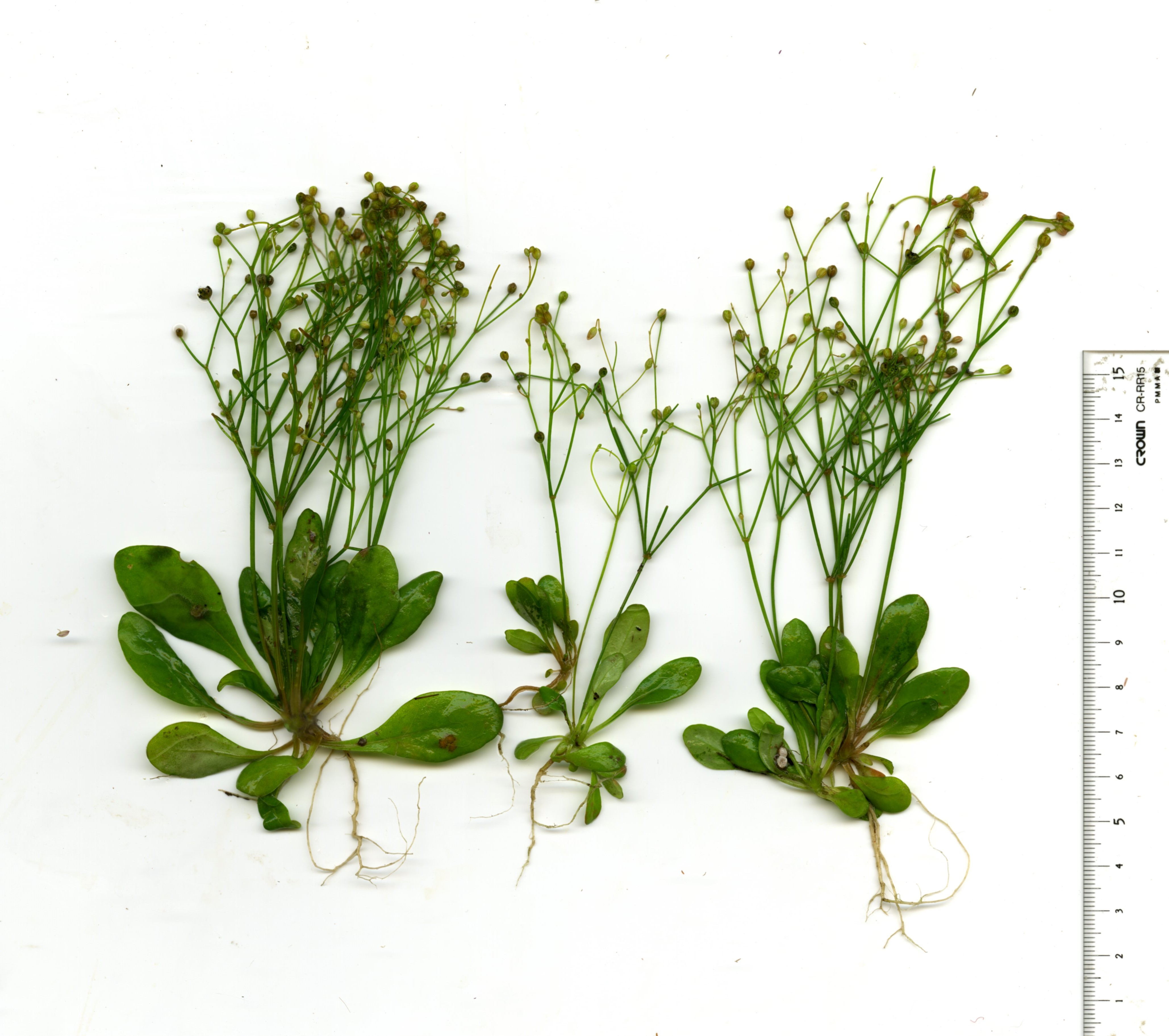 Whole plant with inflorescence