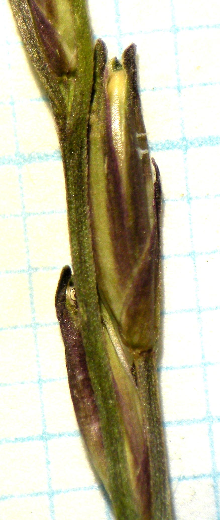 小穂(目盛1mm)