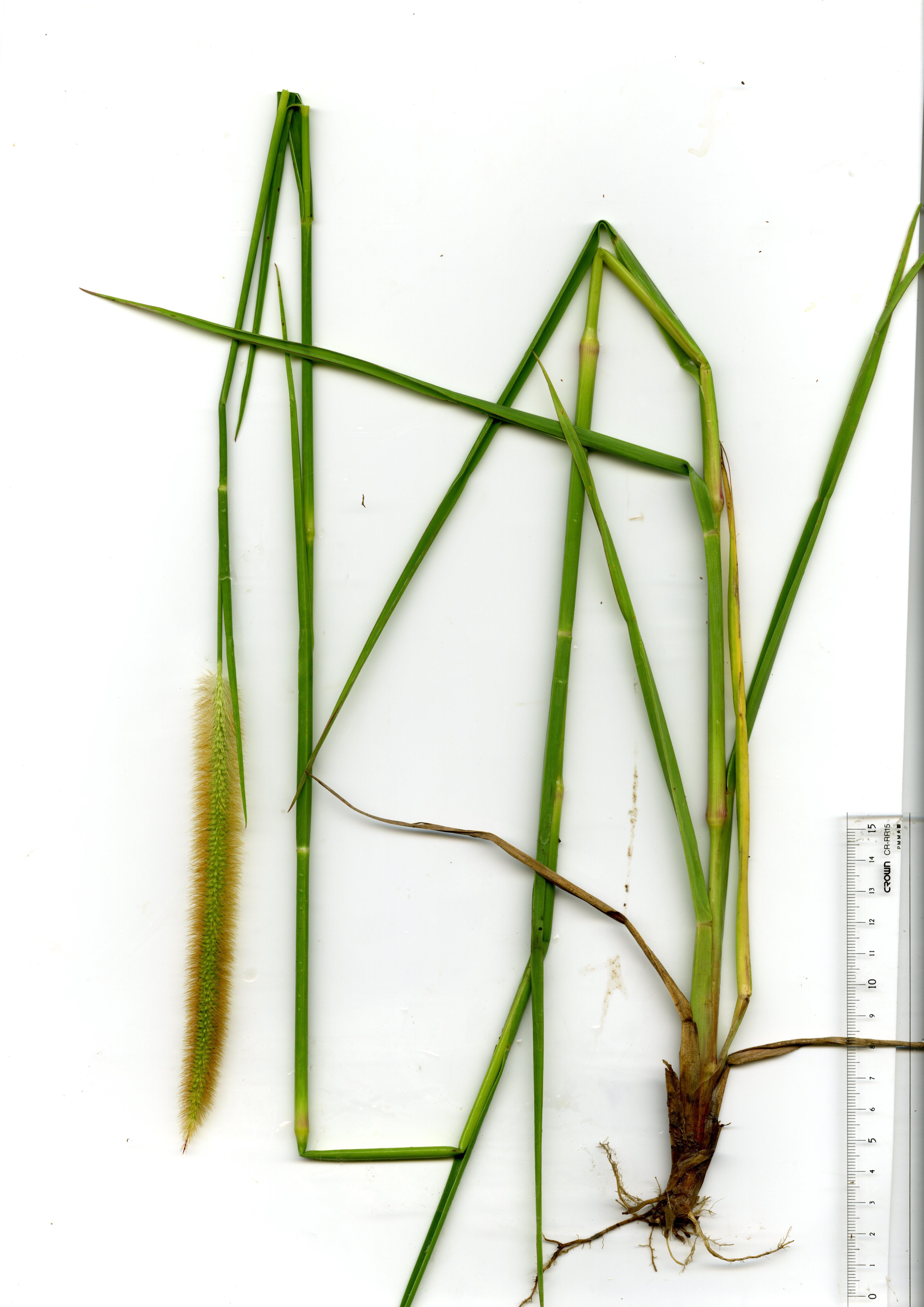 穂をつけた成植物