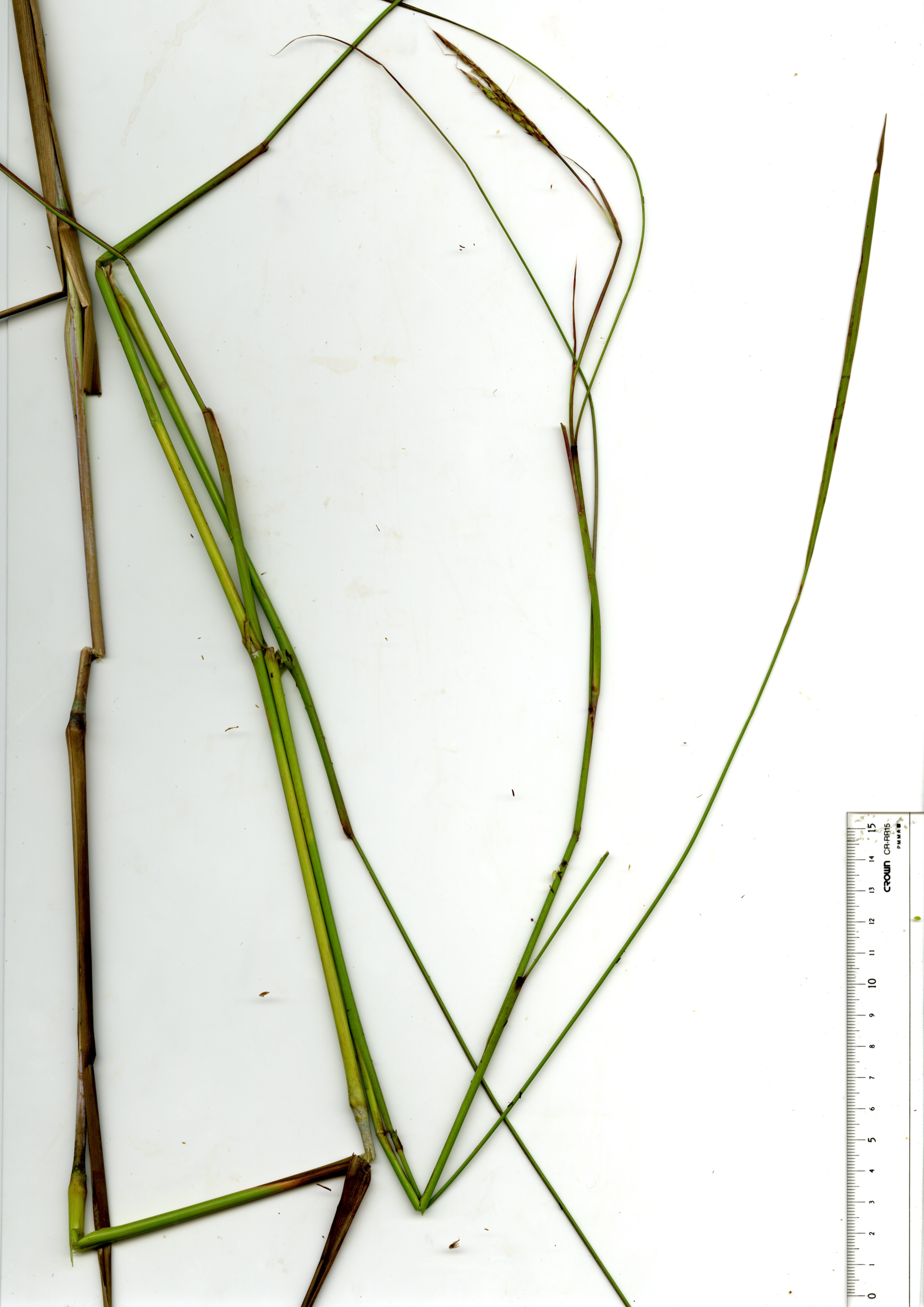 Whole plant with panicles