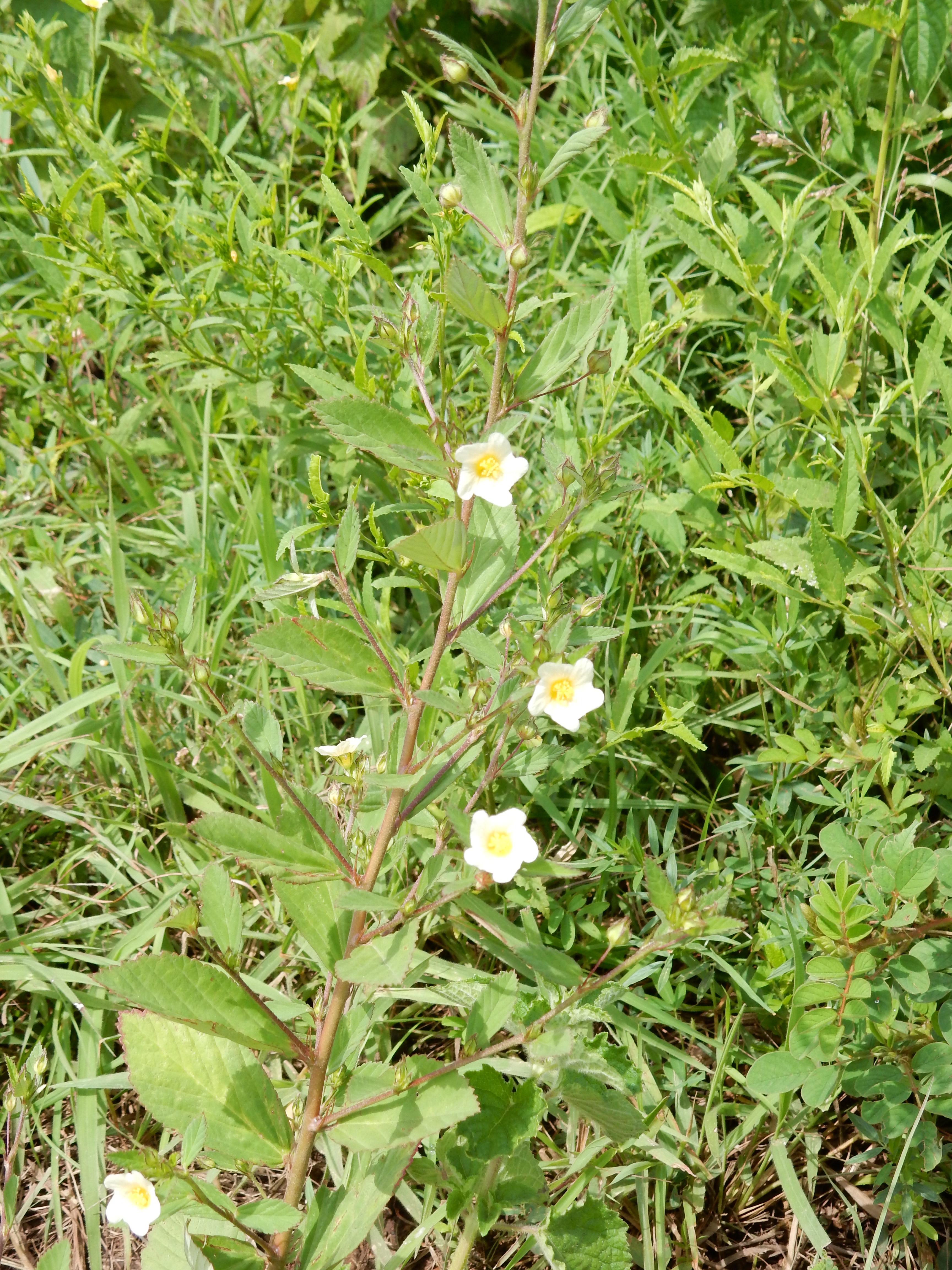 開花中の成植物