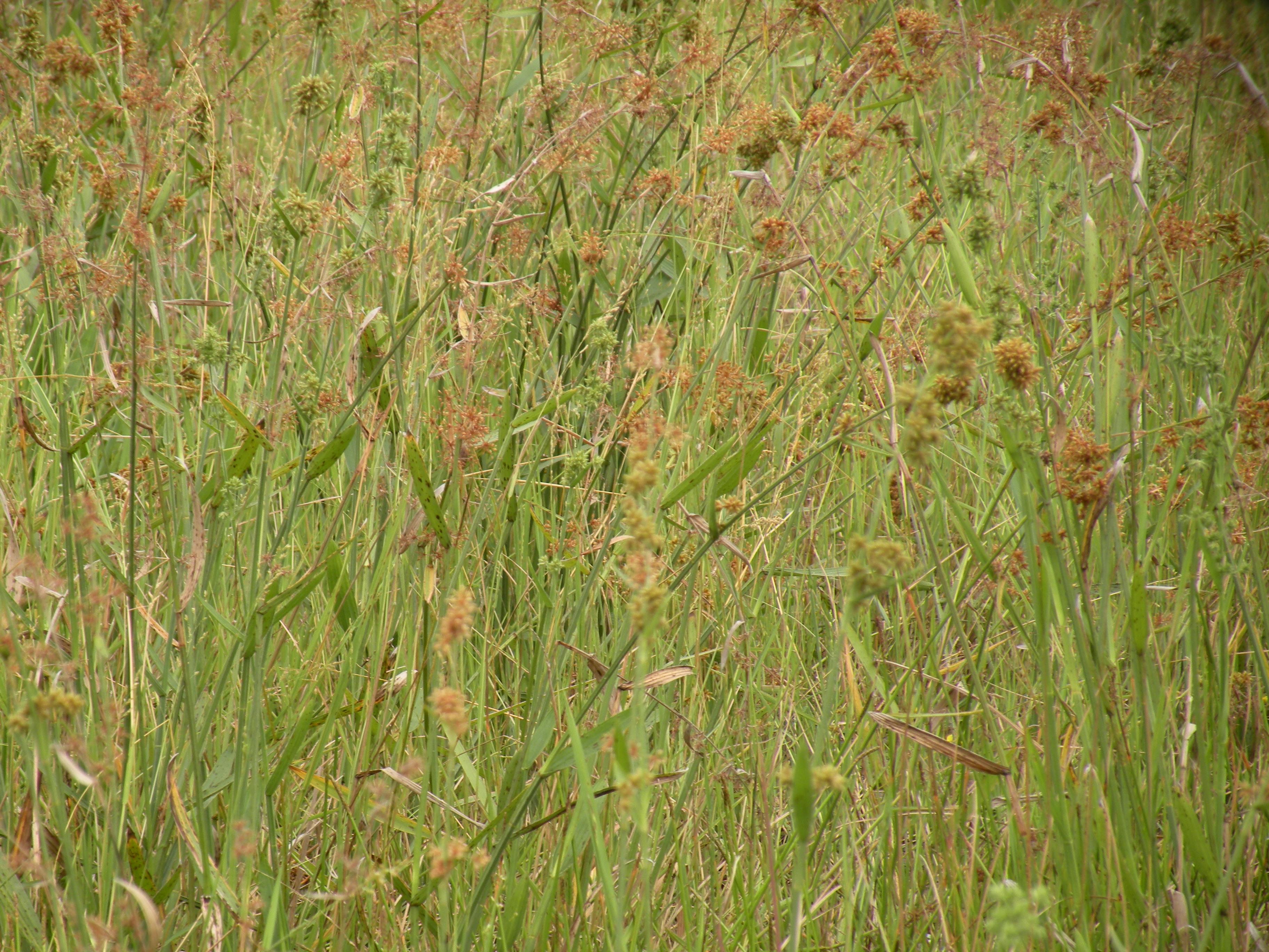 湿地での繁茂状況