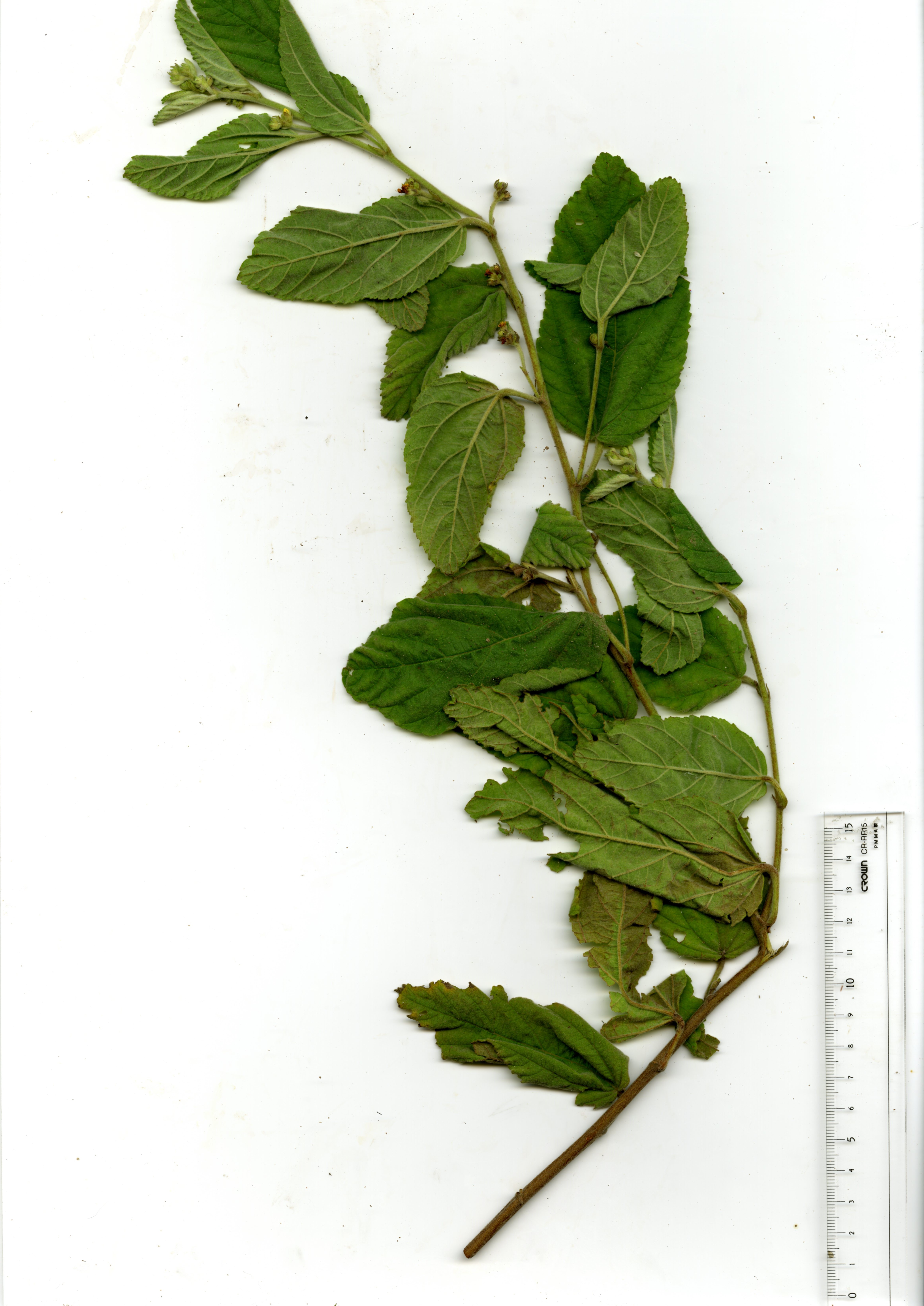 Branch with flower and buds