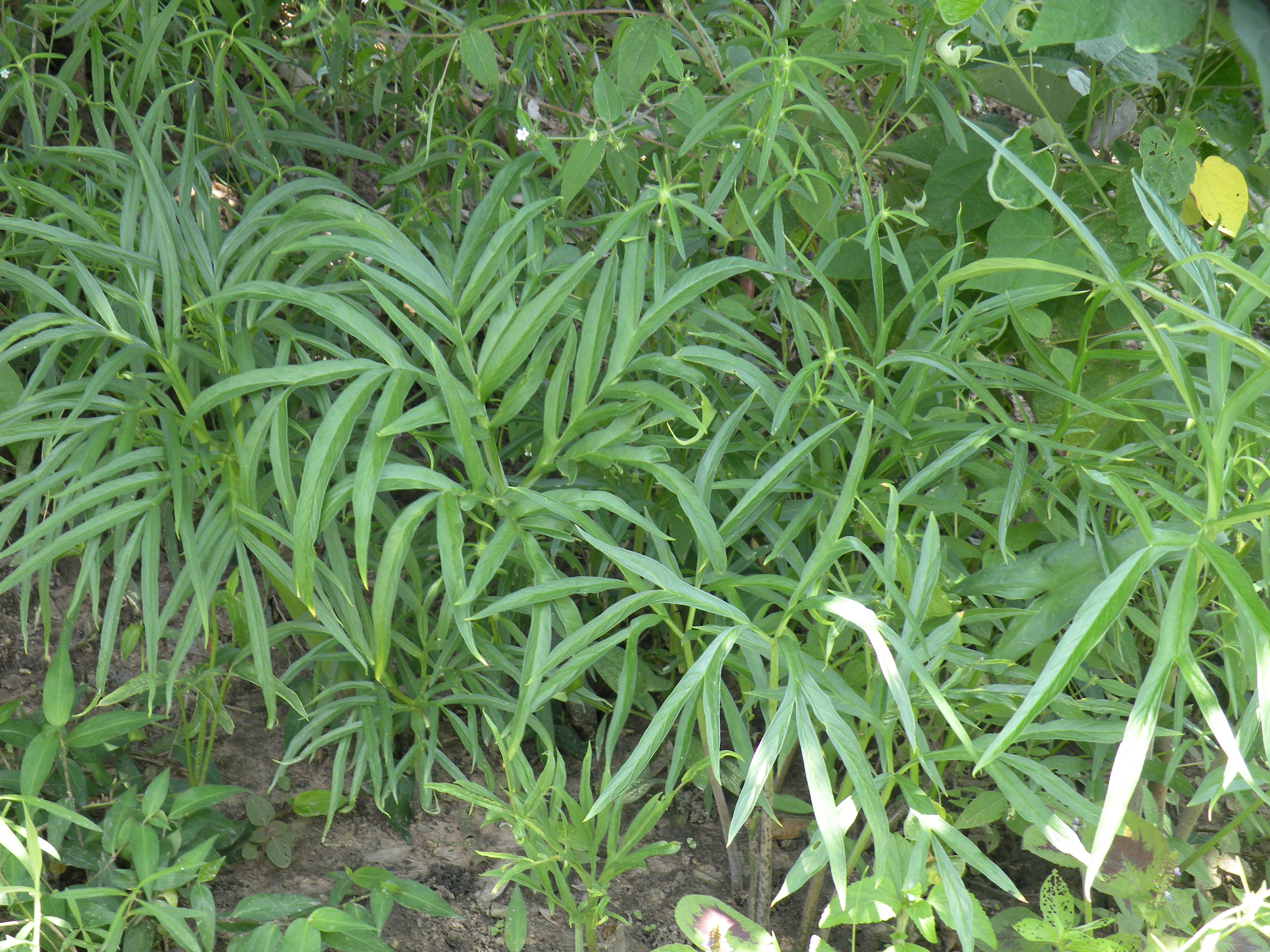 イネ圃場の端の樹陰地での生育状態