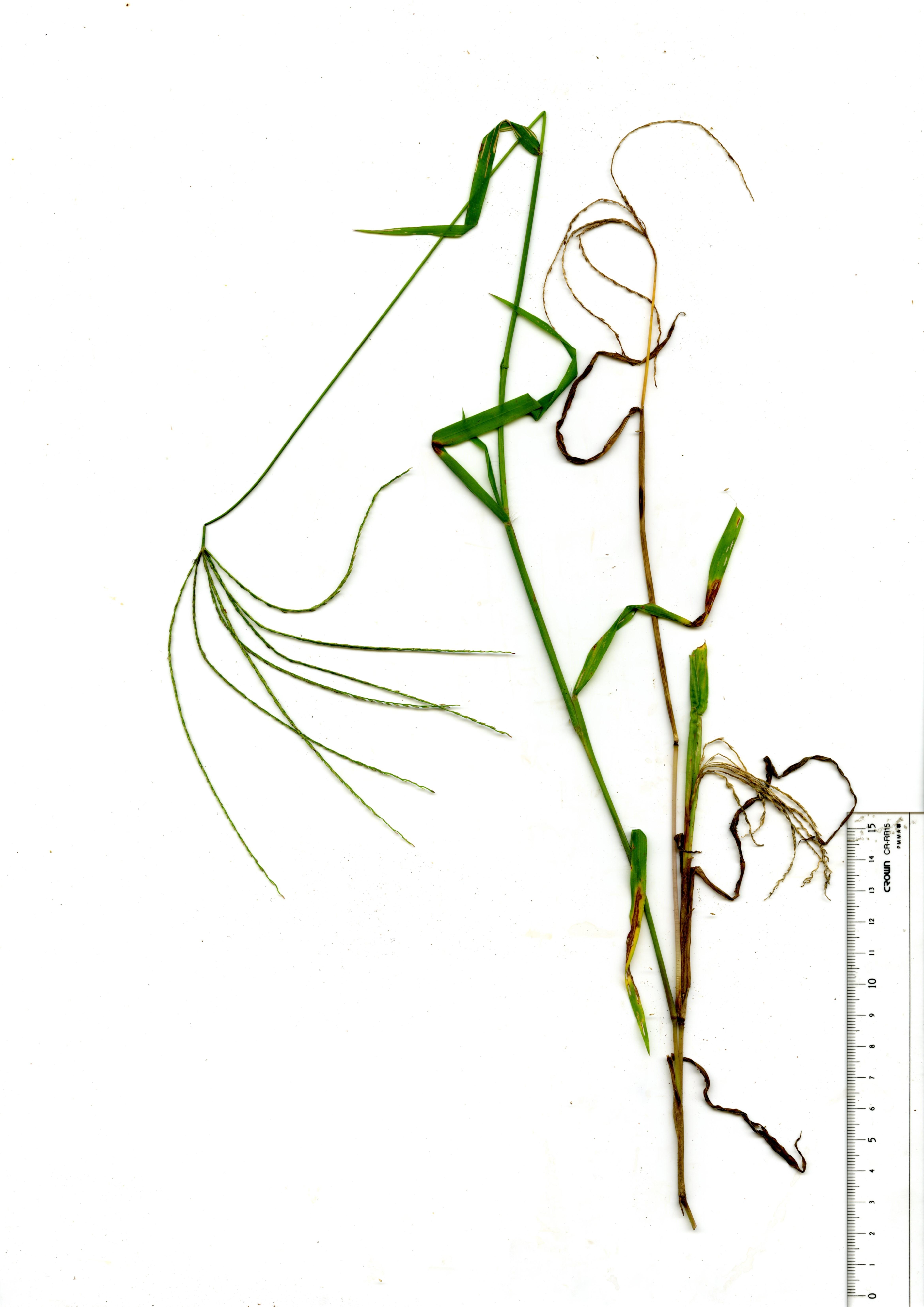 穂を付けた成植物-2