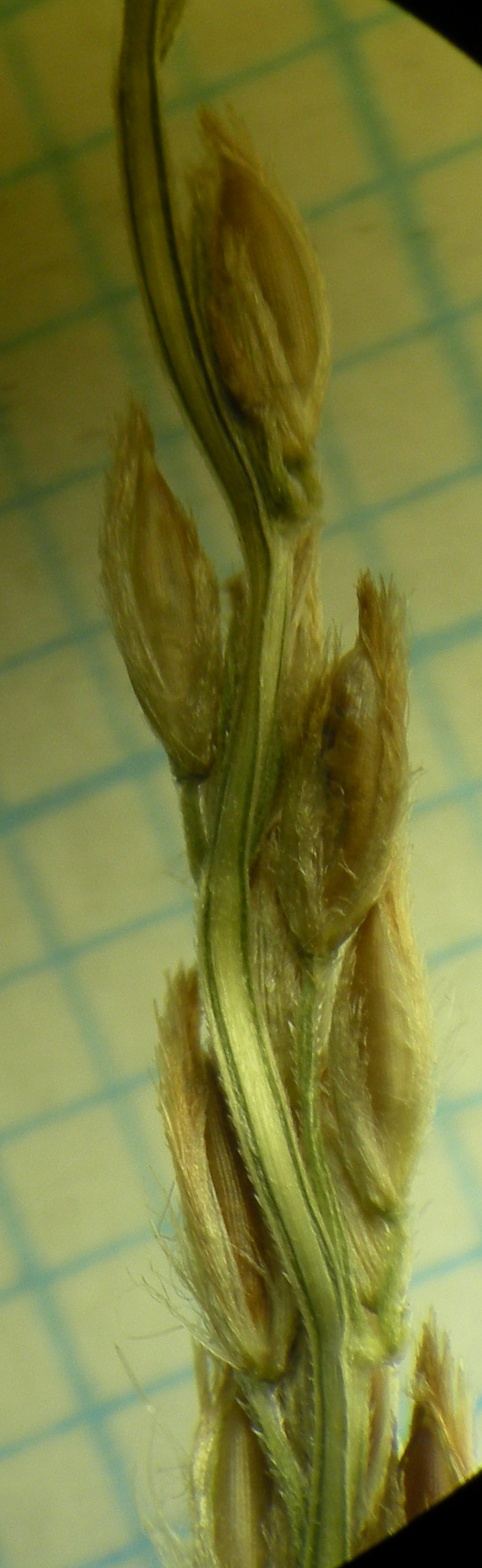 Spikelets on rachis branch