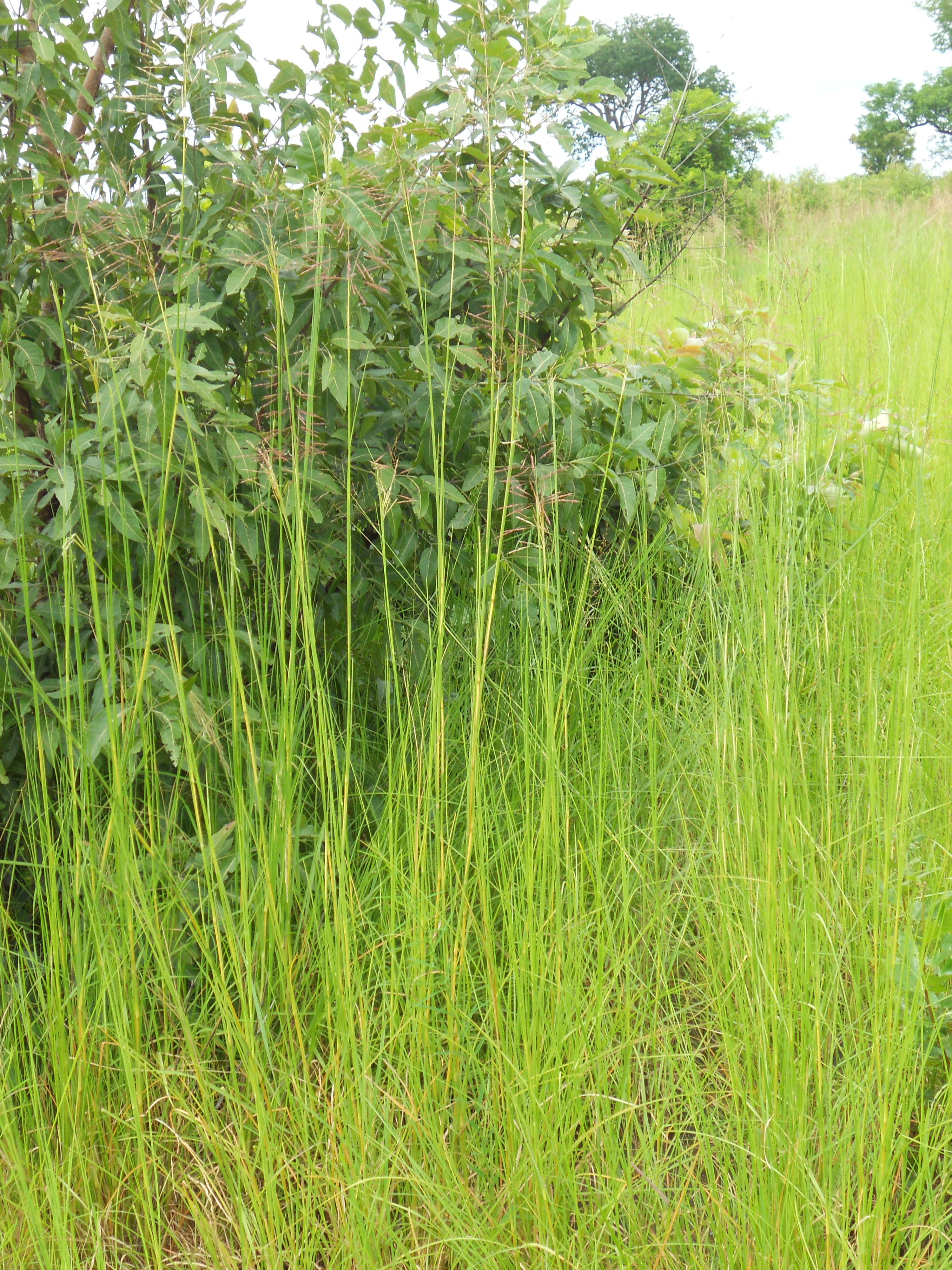 湿地に生育する成植物