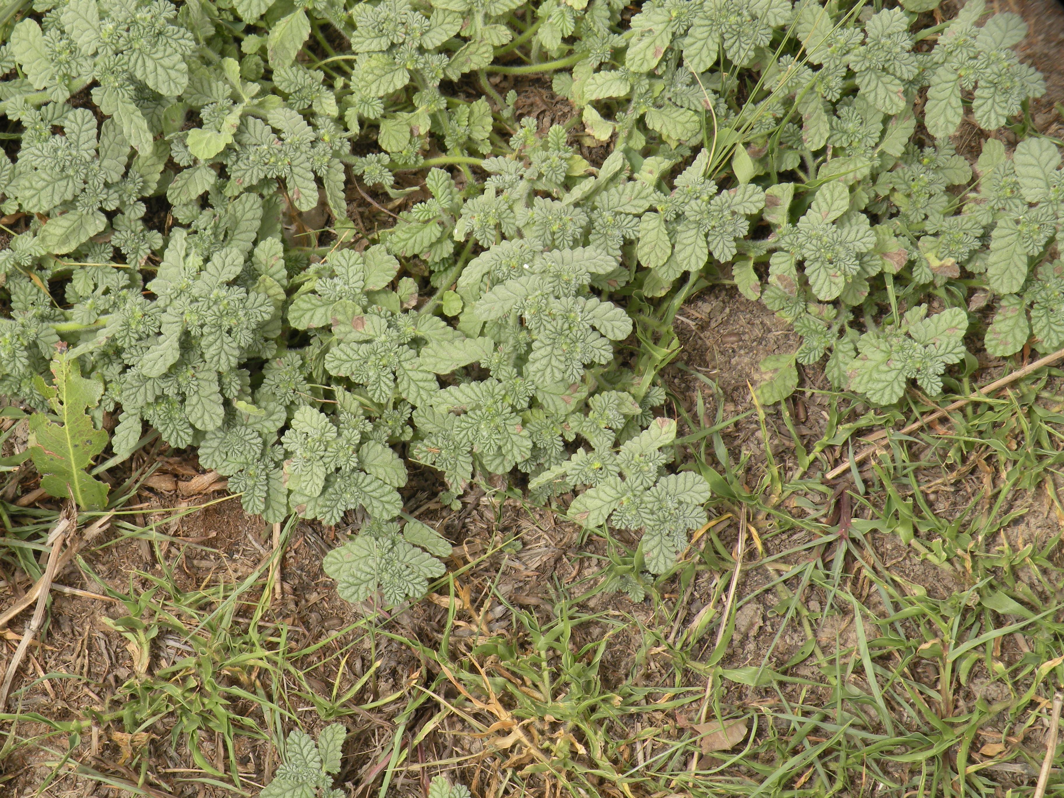 作付前のイネ圃場での花蕾期の成植物