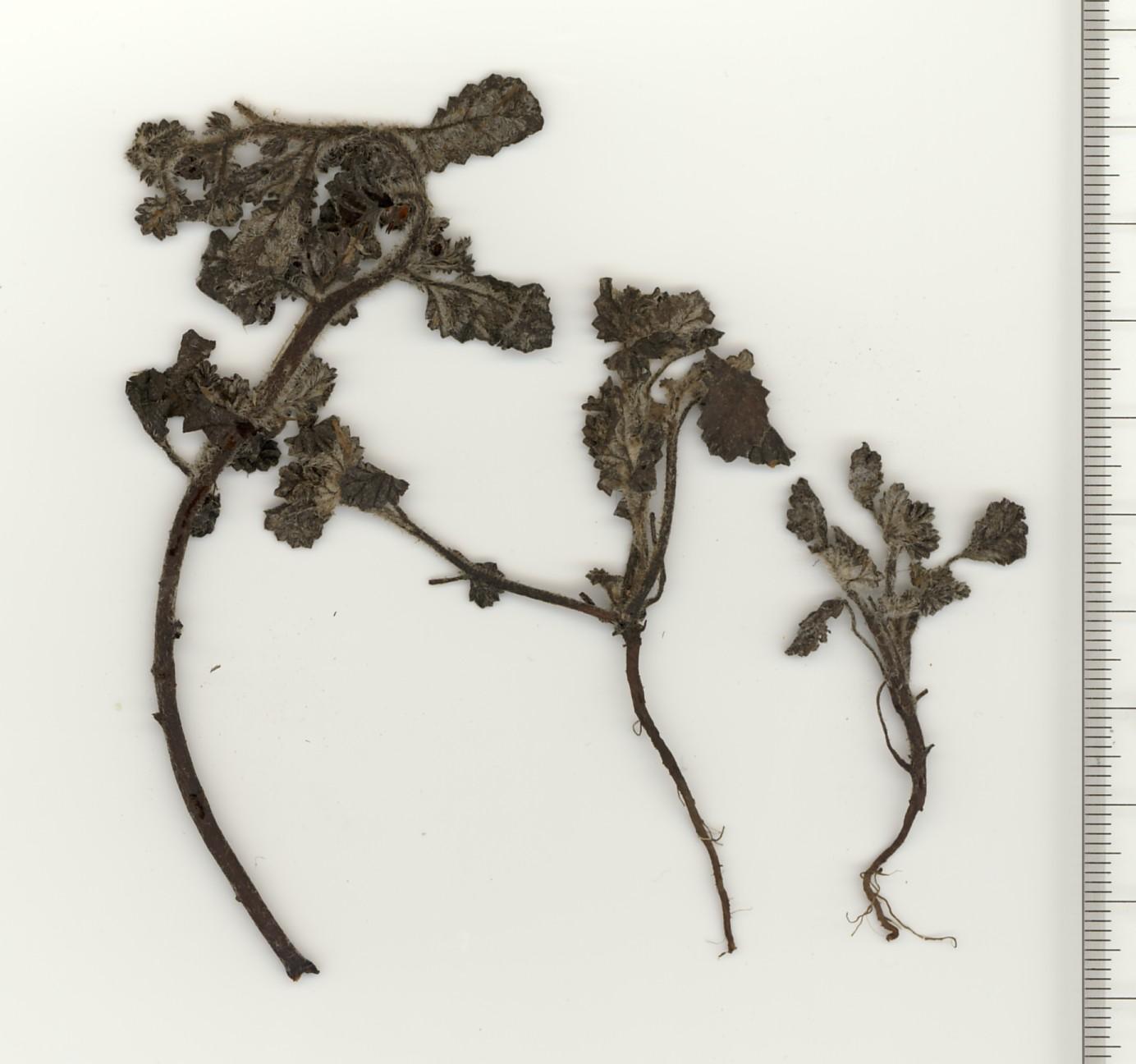幼植物(乾燥標本)