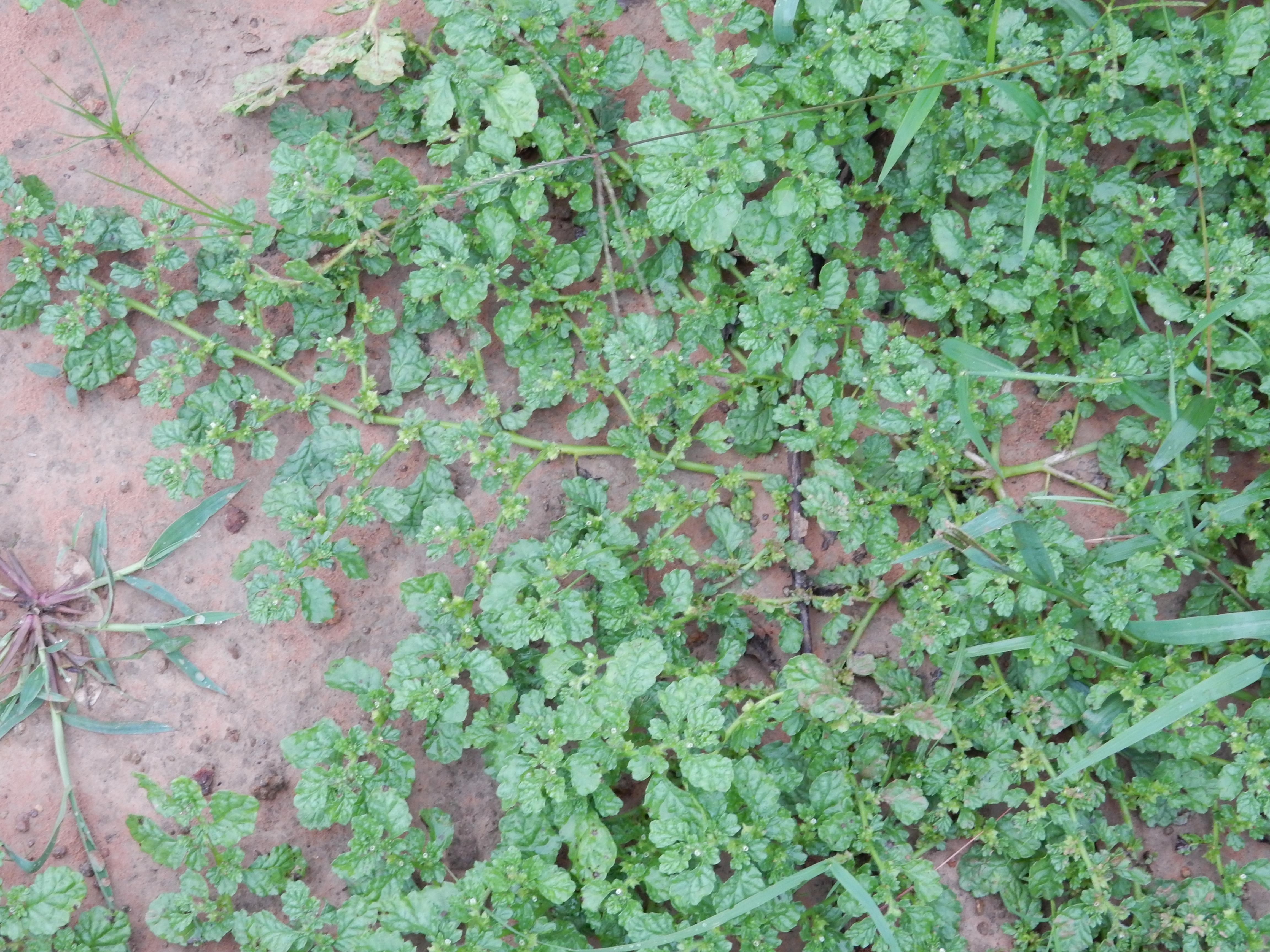 花期の成植物