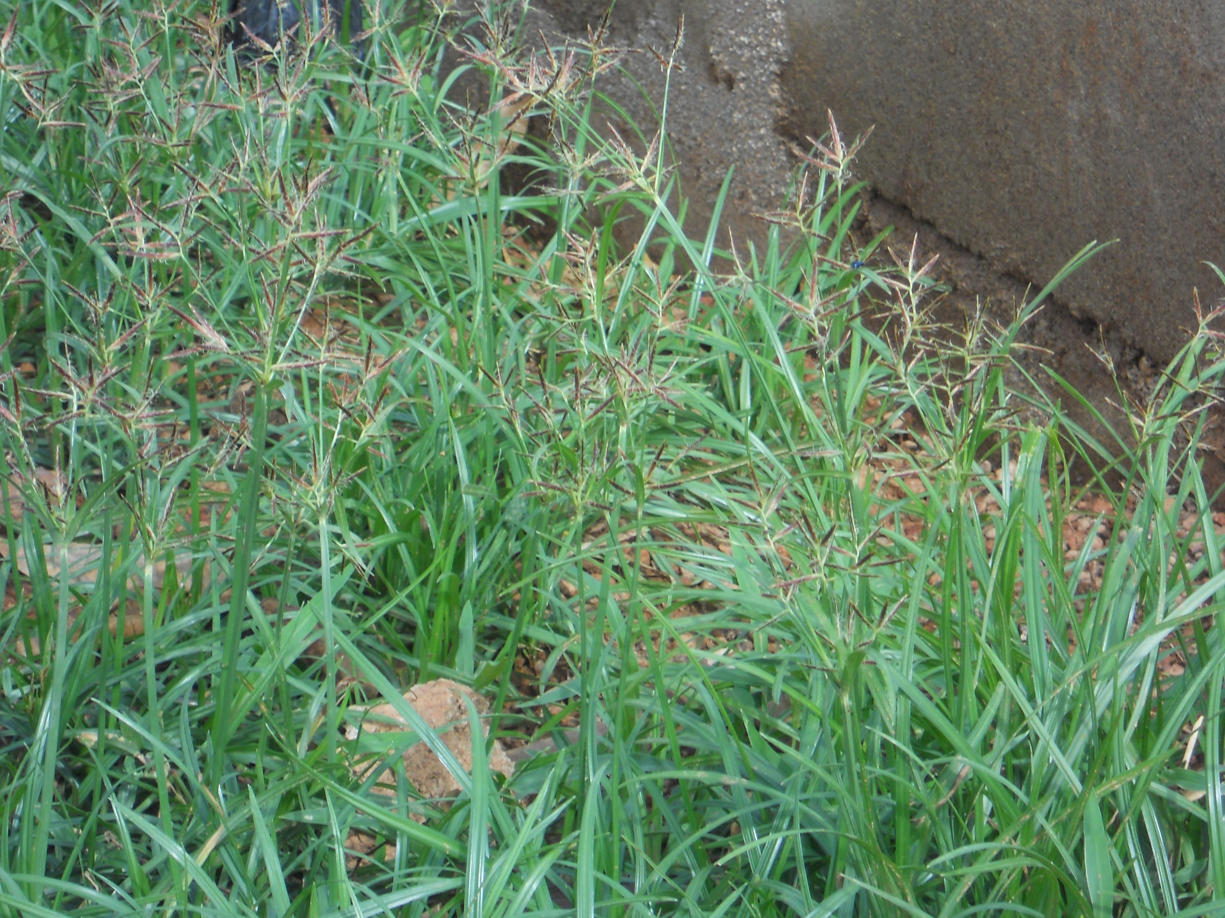 路傍に生育する開花期の成植物