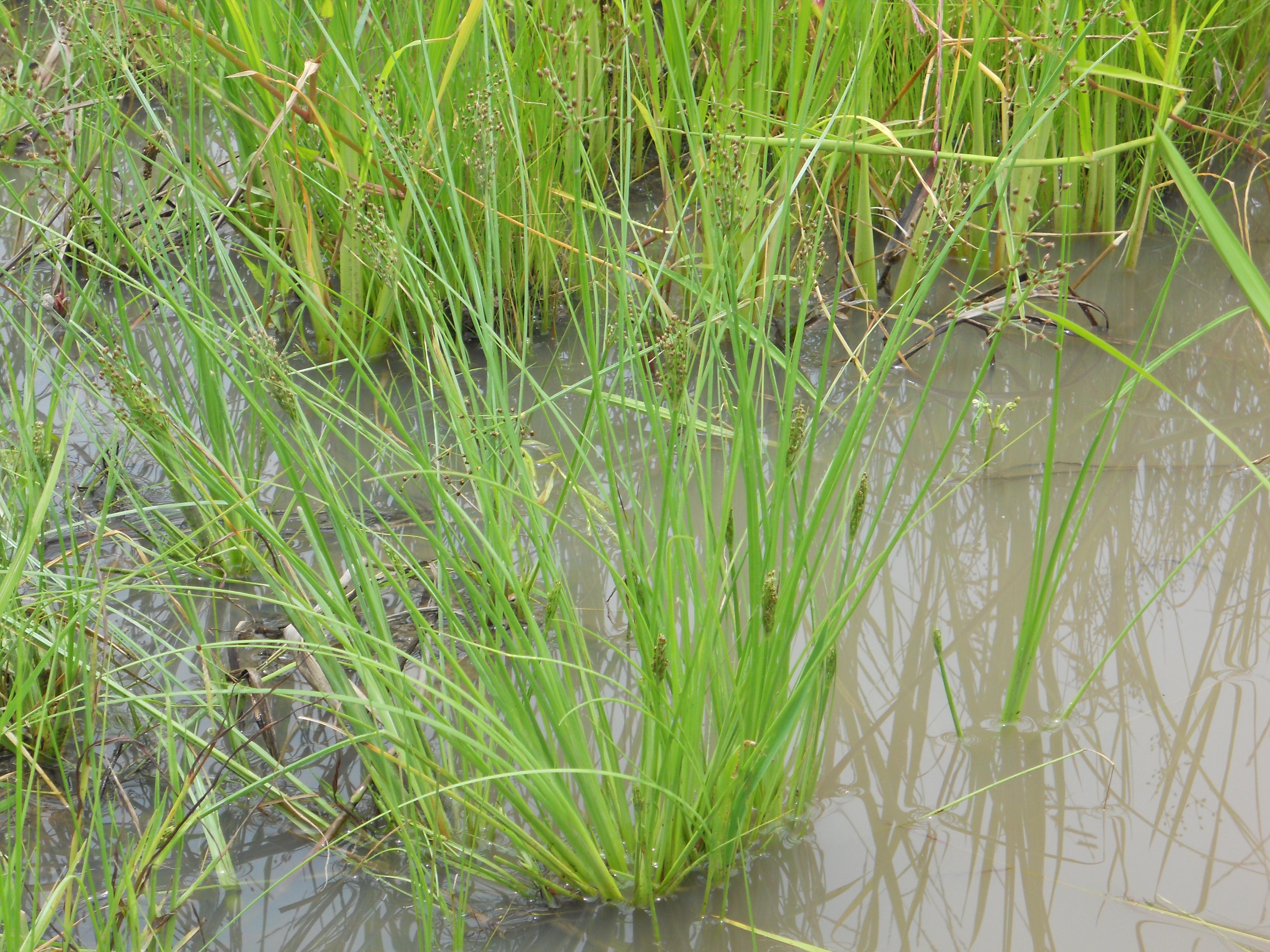 イネ圃場に生育する成植物