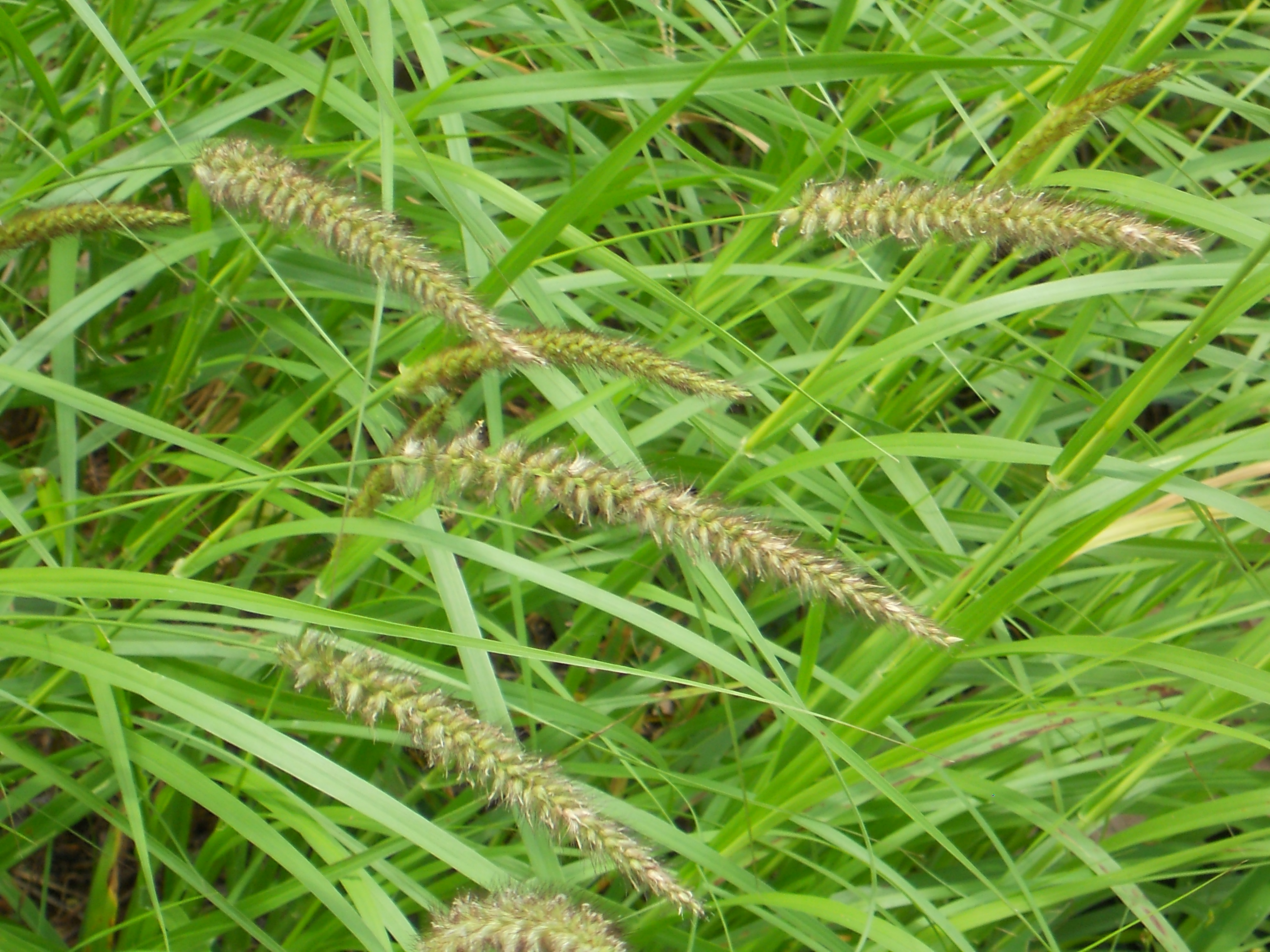 Plants with panicles  on road side