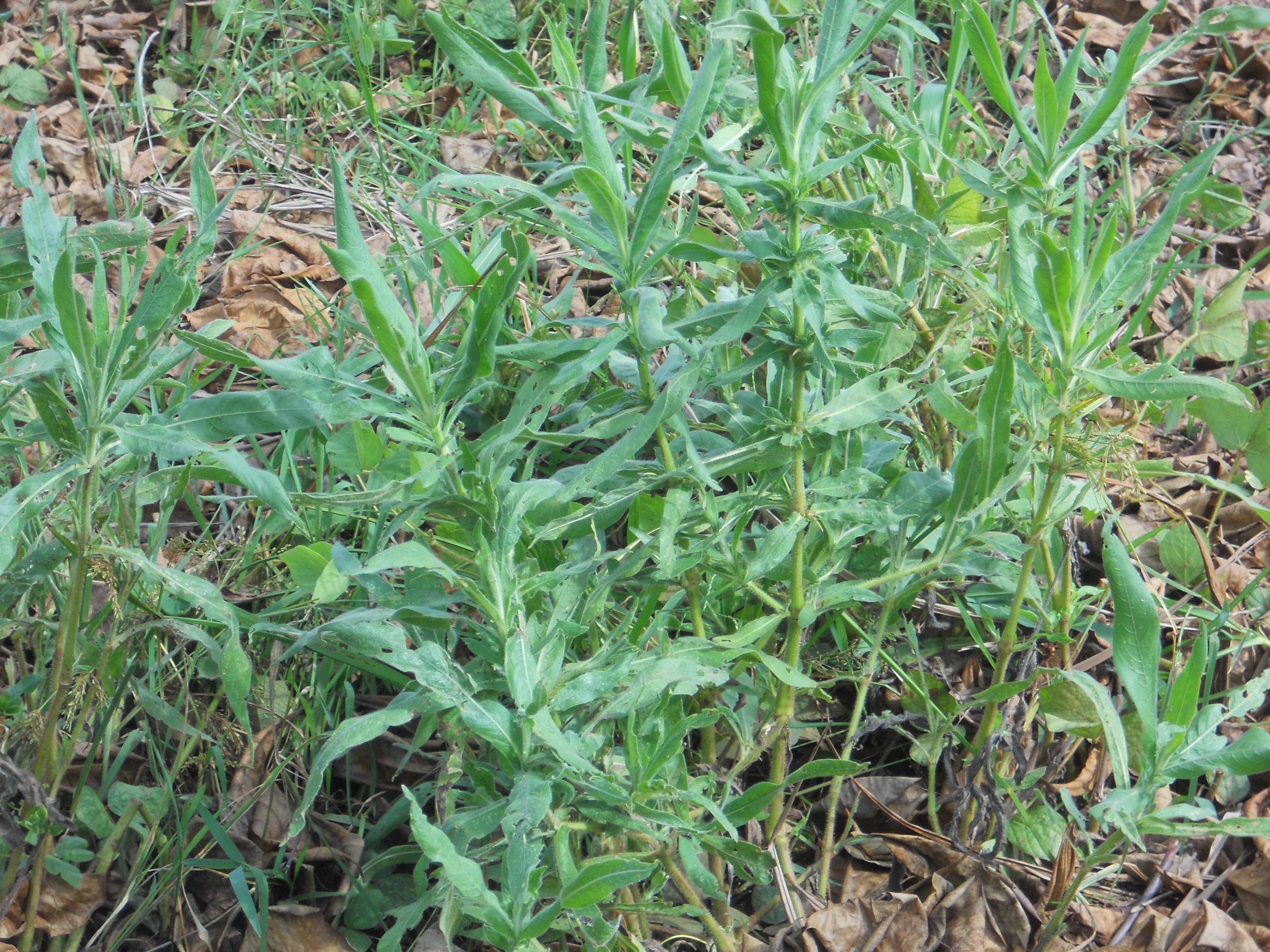 イネ圃場に生育する開花前の植物