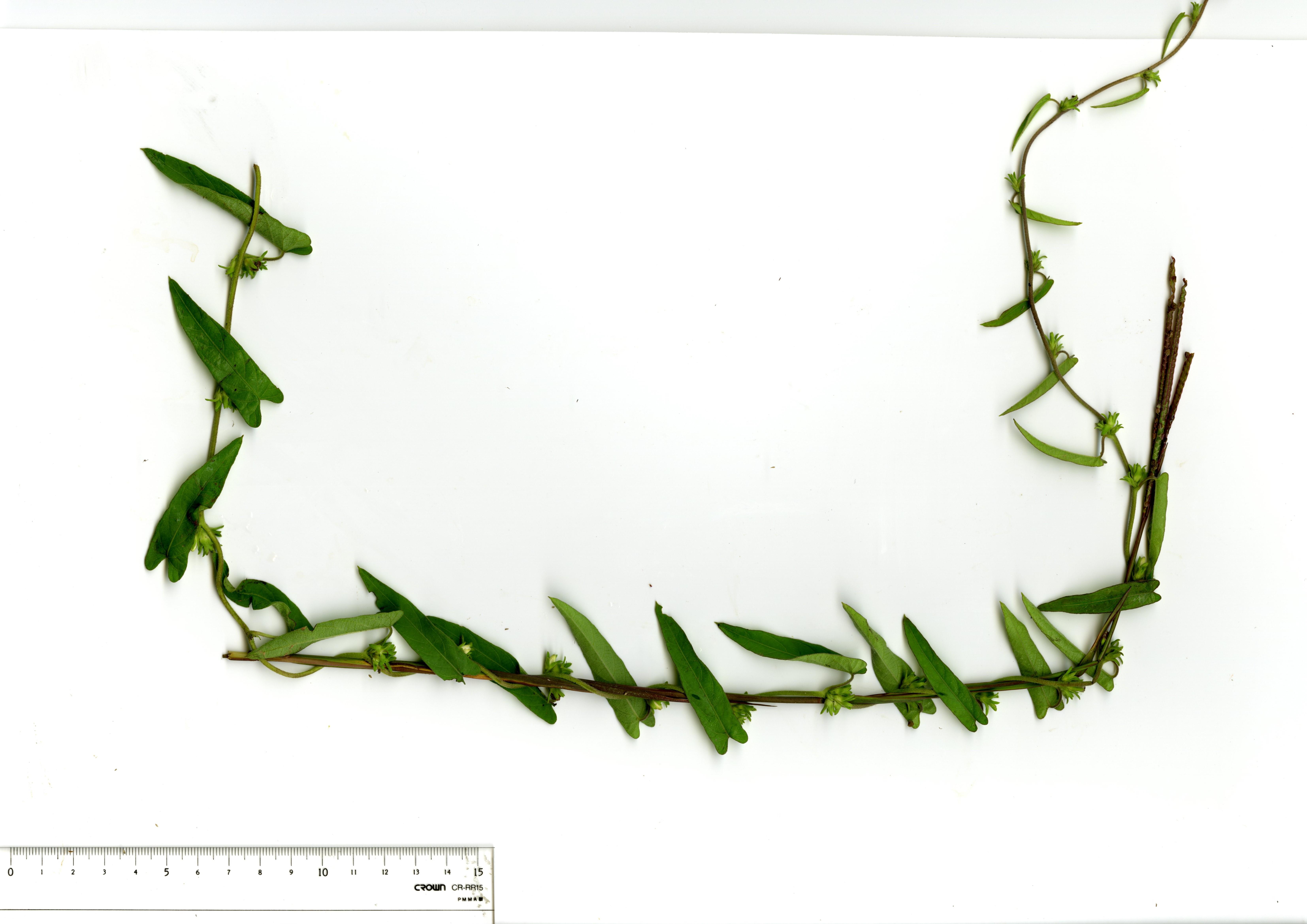 花序をつけた植物体