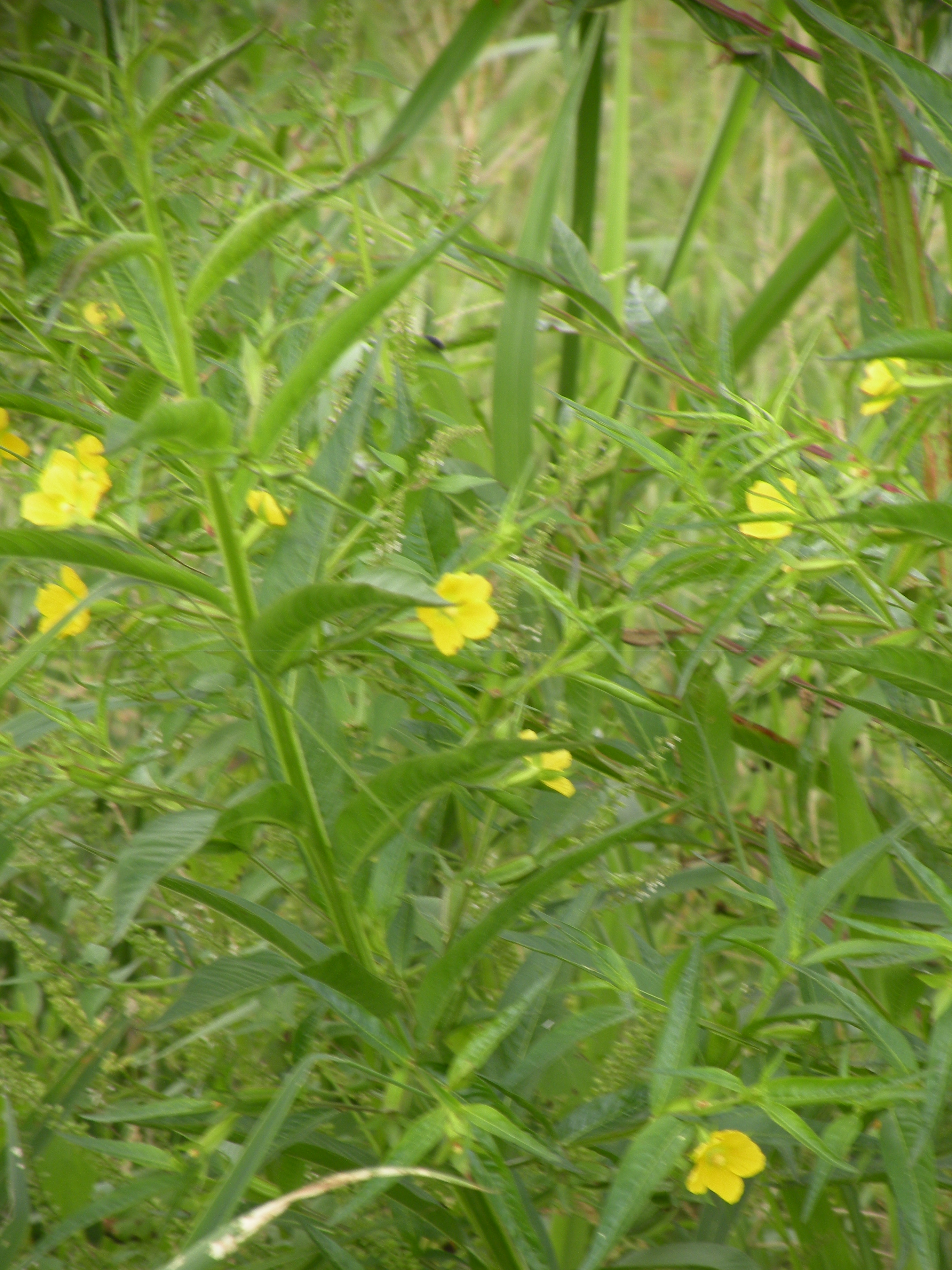 イネ圃場周辺の水路に生育する開花中の植物