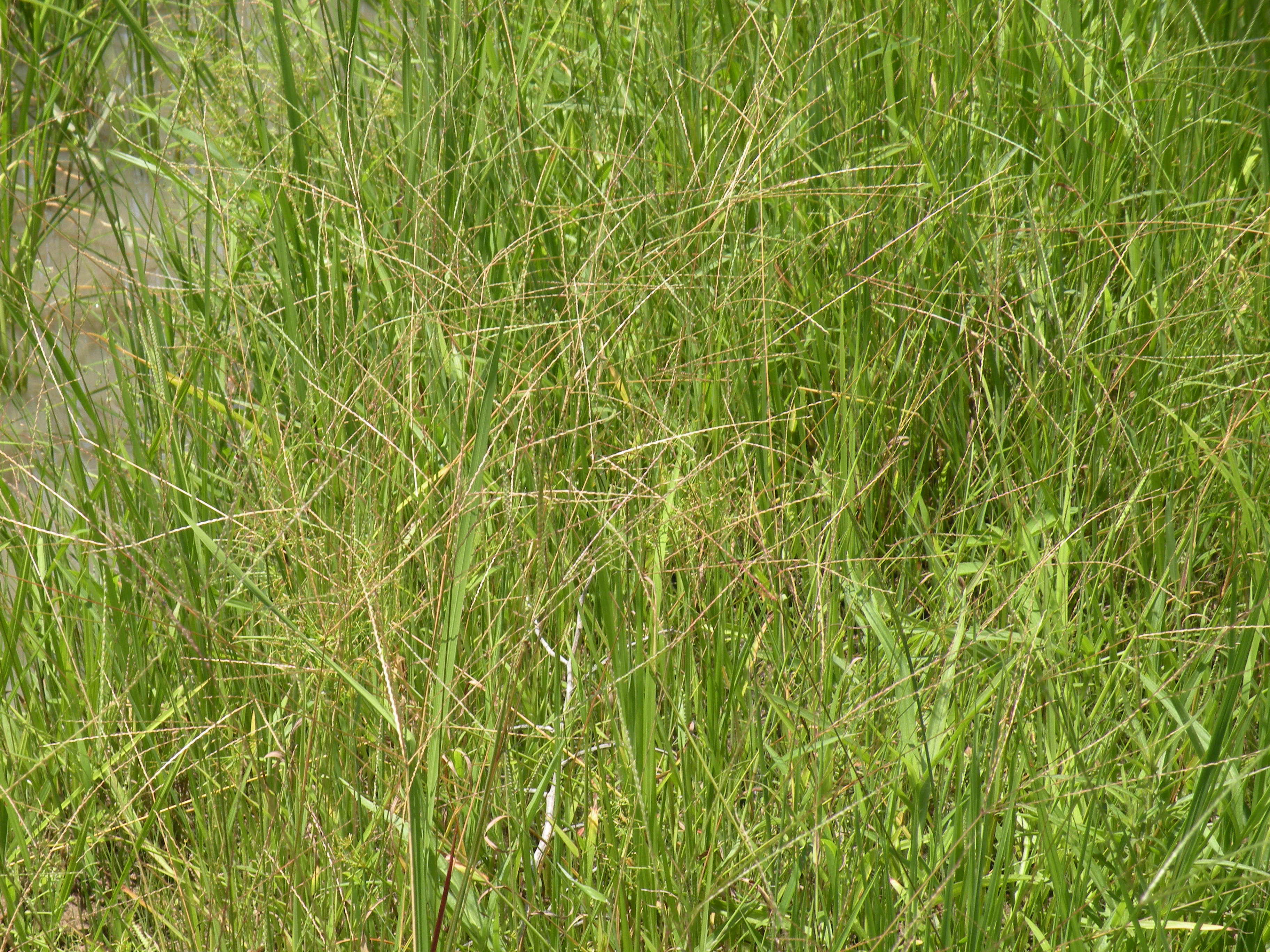 Plants with panicle in rice field