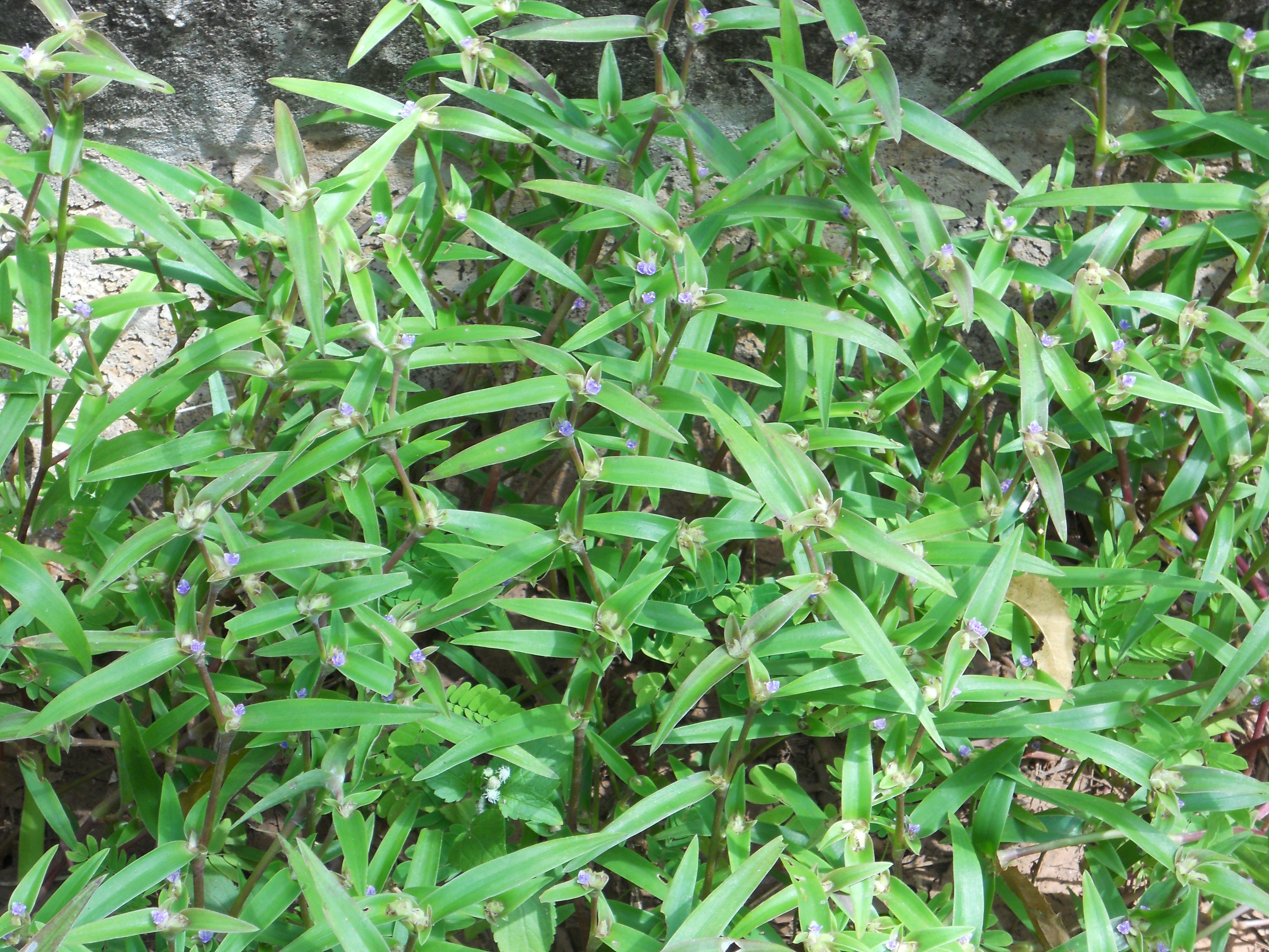 溝に生育する成植物