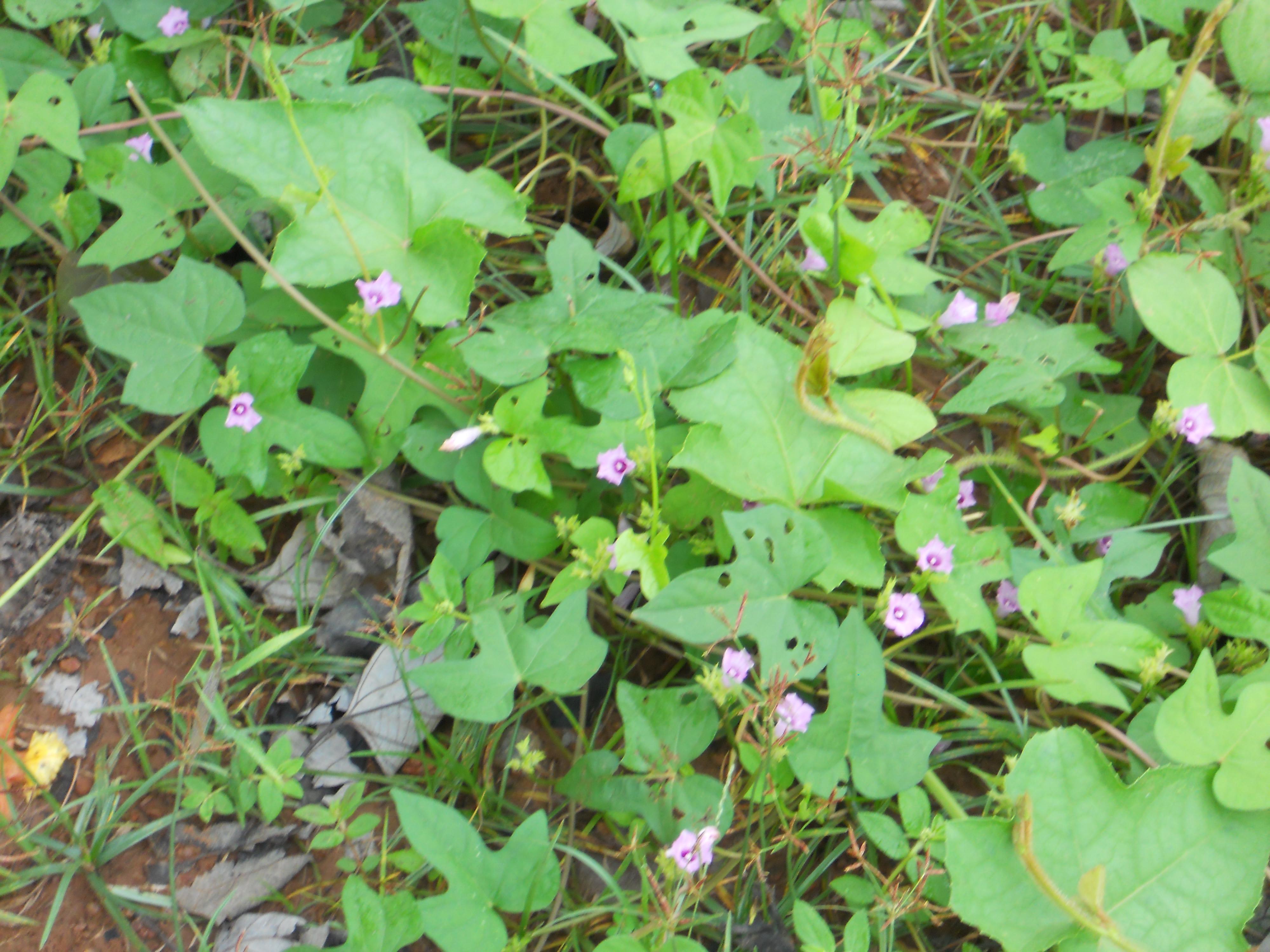 イネ圃場周辺の路傍で開花中の成植物