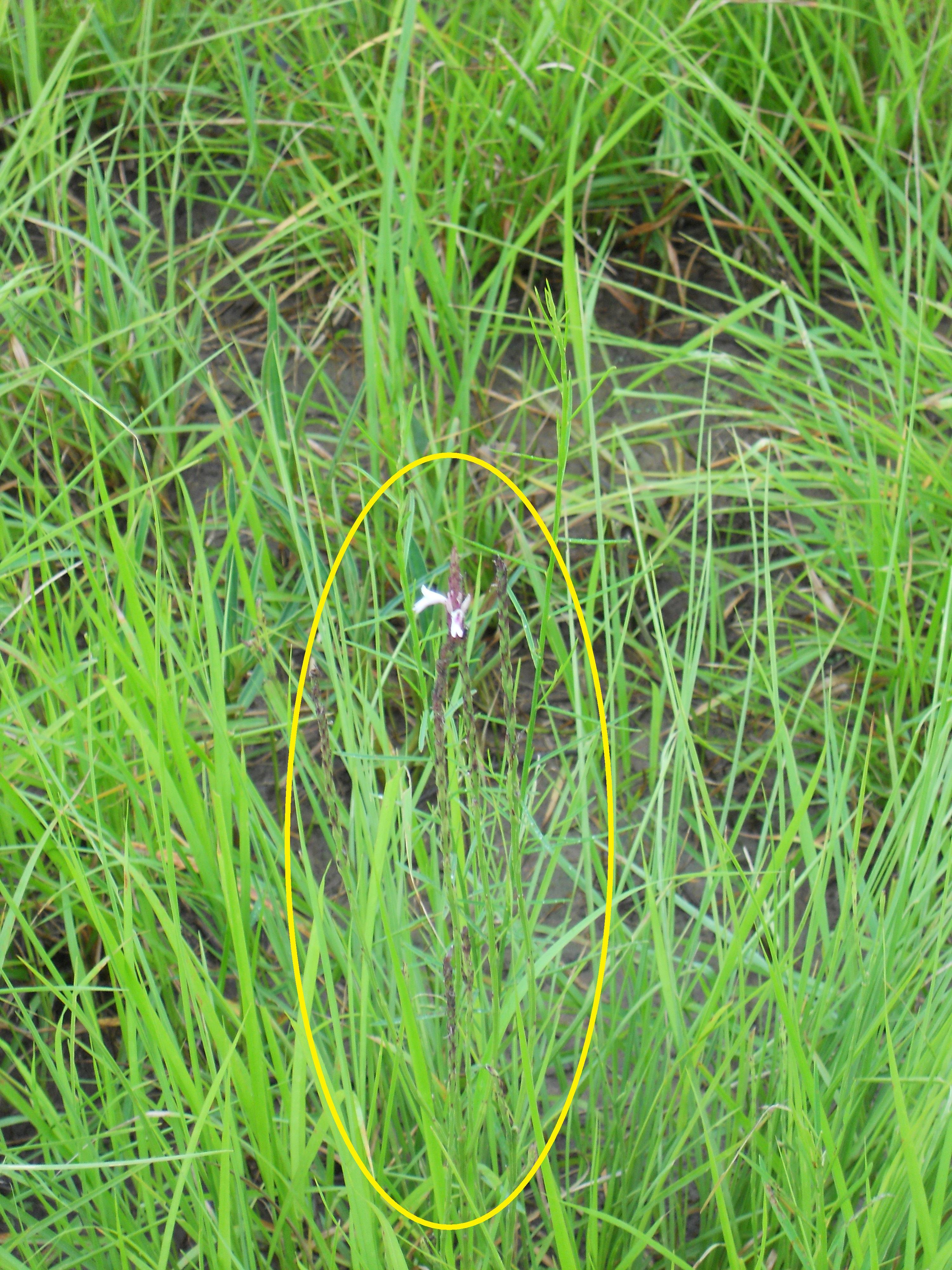 休耕のイネ圃場で開花中の植物体