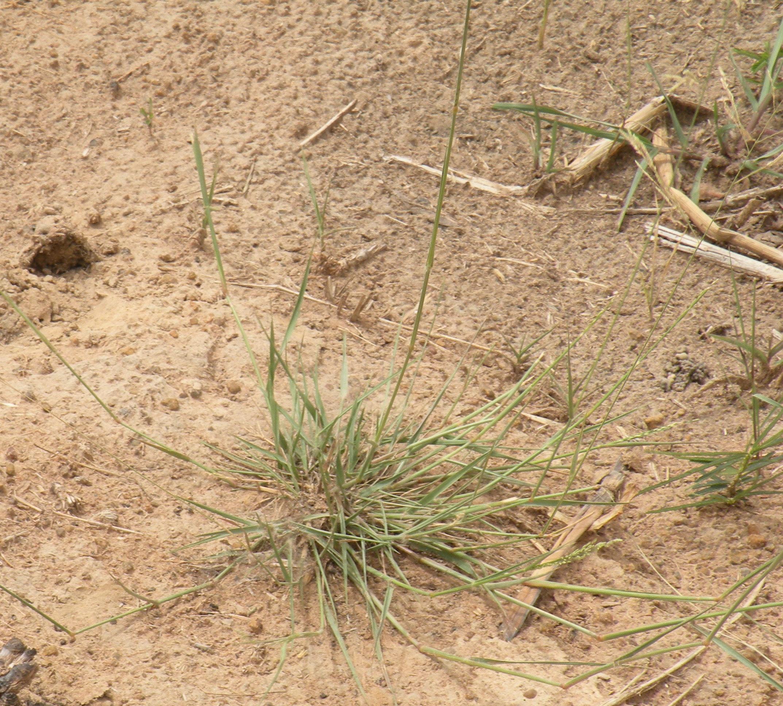 乾期末のイネ圃場での幼植物